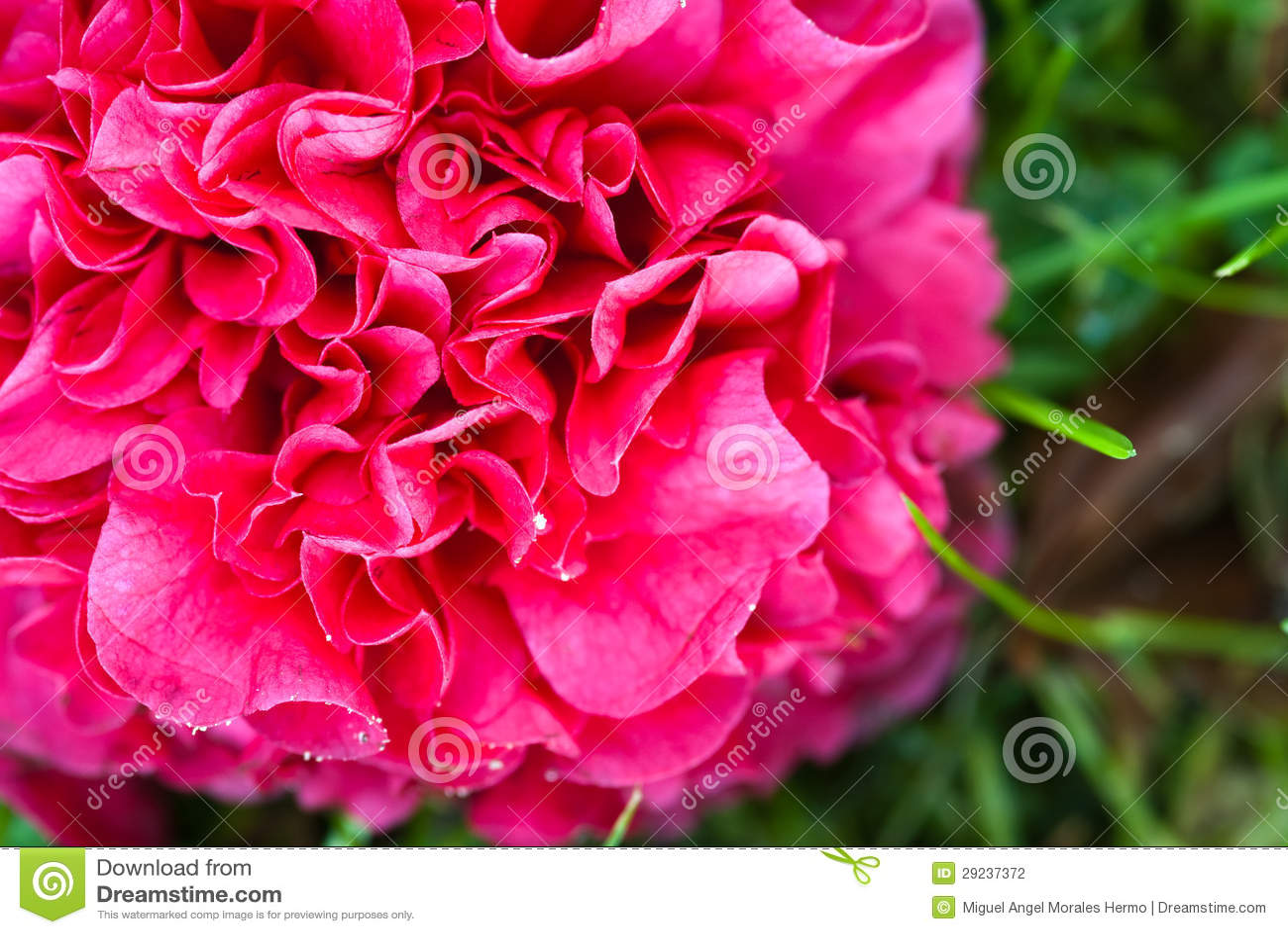 Download Camélia foto de stock. Imagem de jardinar, macro, nave - 29237372