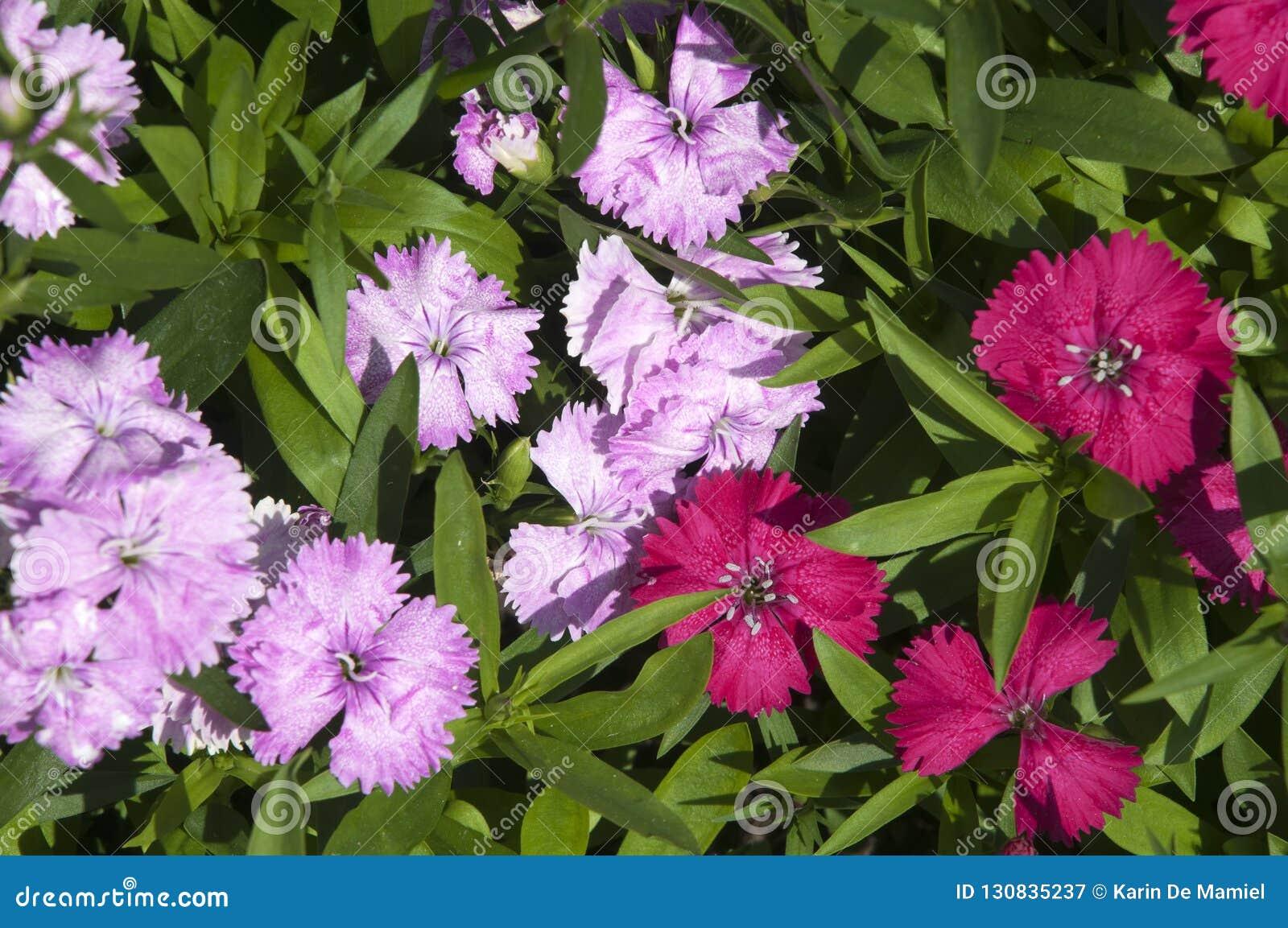 Cama Del Jardín De Las Flores Dulces Coloridas De Guillermo ...
