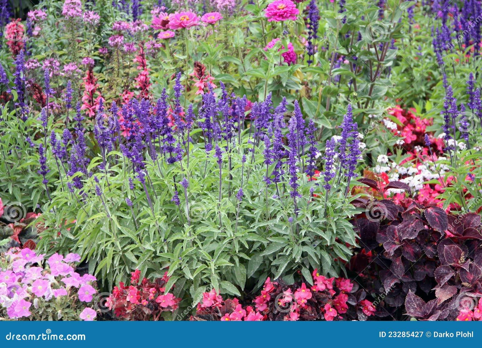 flores para jardim verao : flores para jardim verao:Verão Anual do jardim de flores