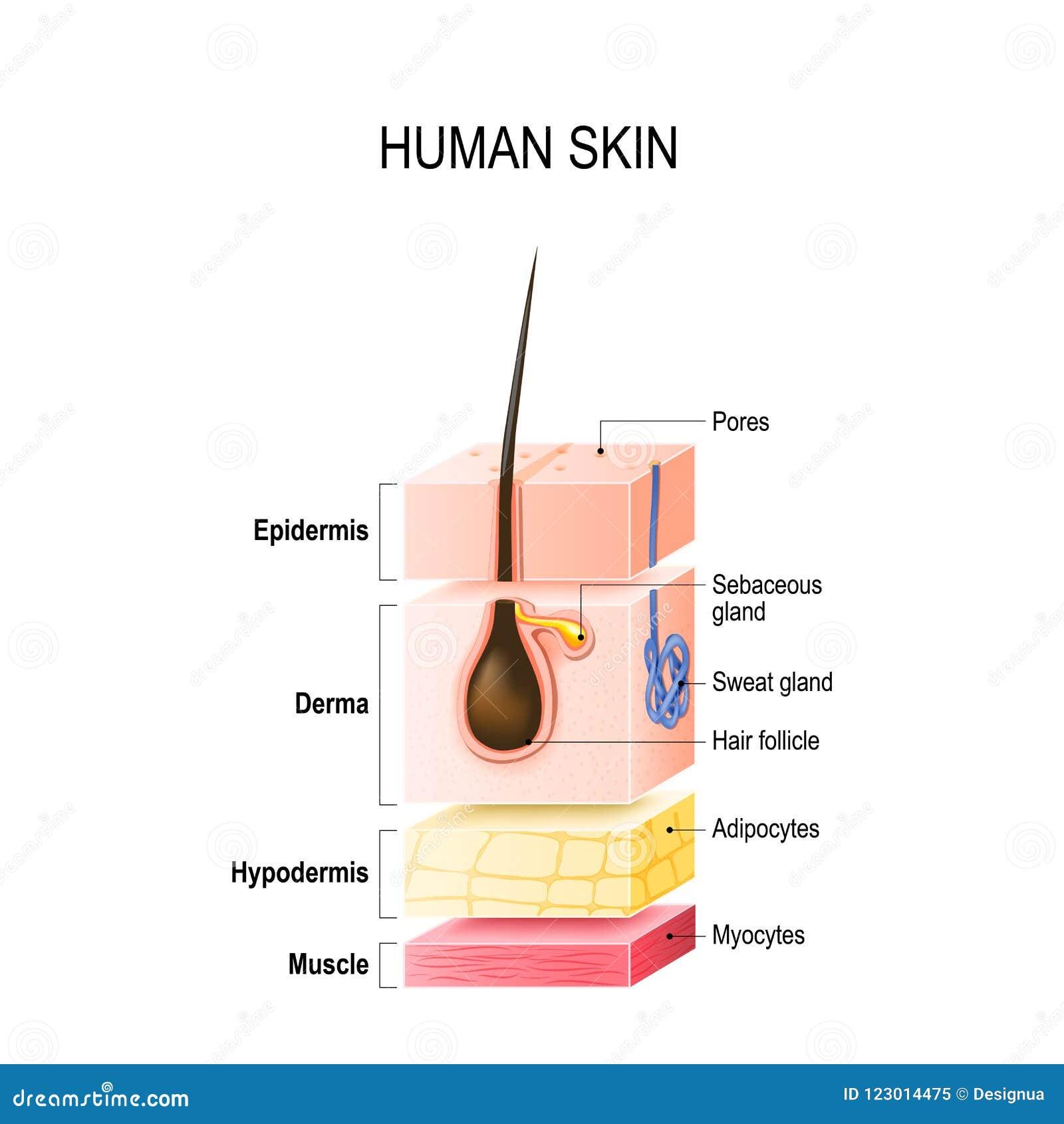 Camadas de pele humana normal