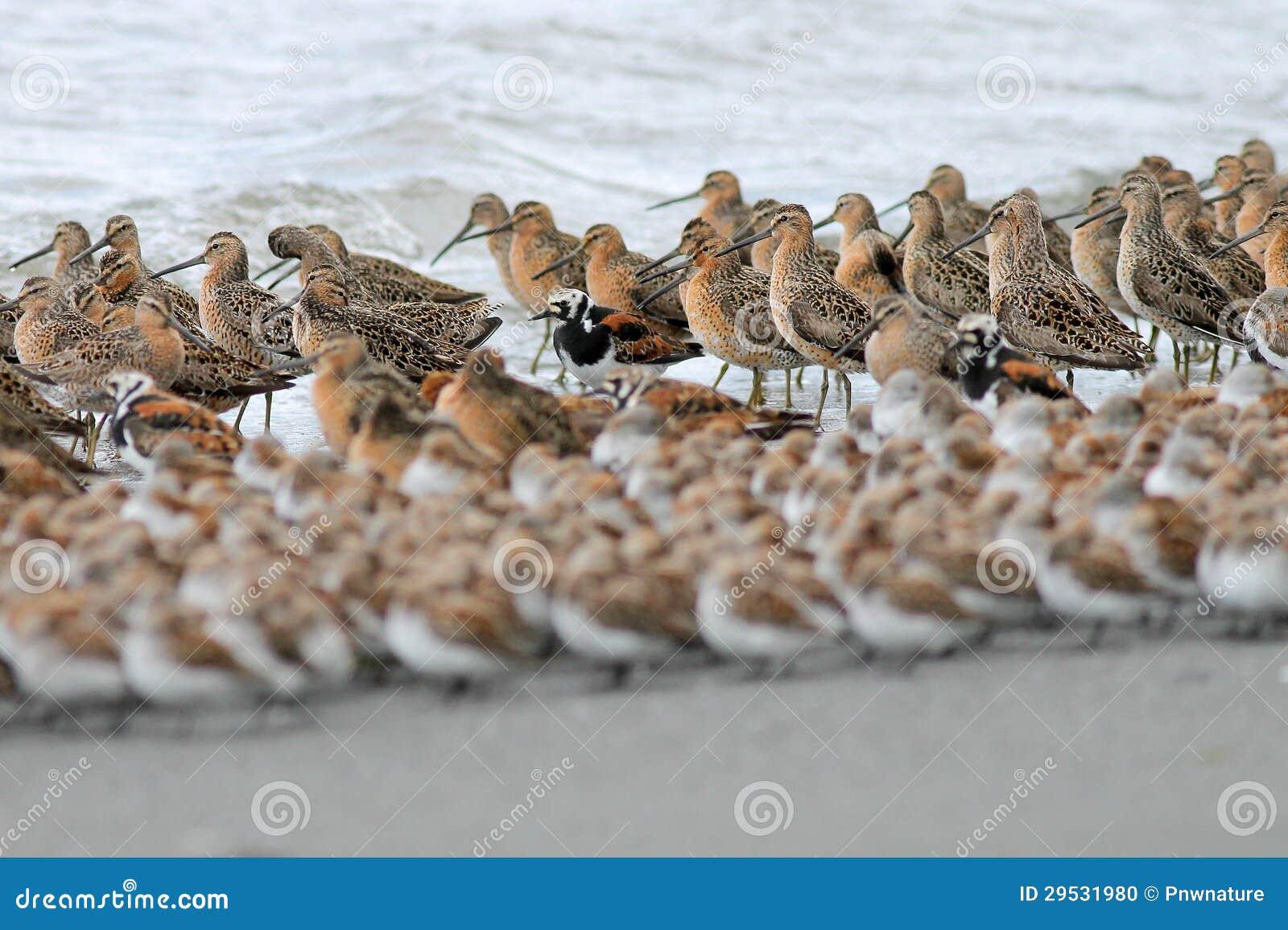Camadas de Shorebirds