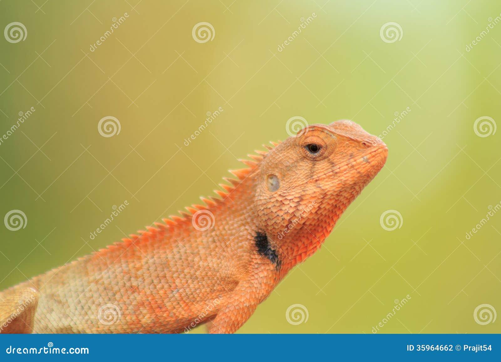 Camaleón tailandés