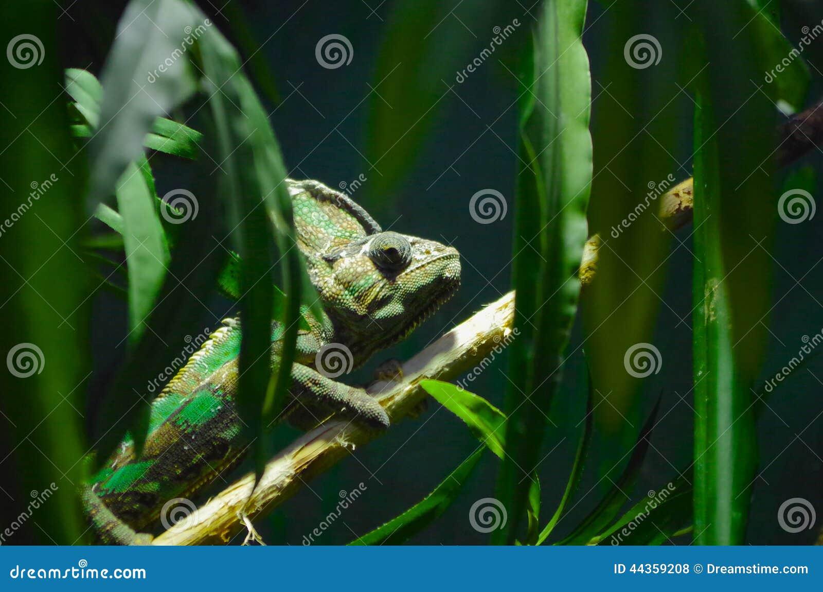 Camaleonte verde su un ramo di albero