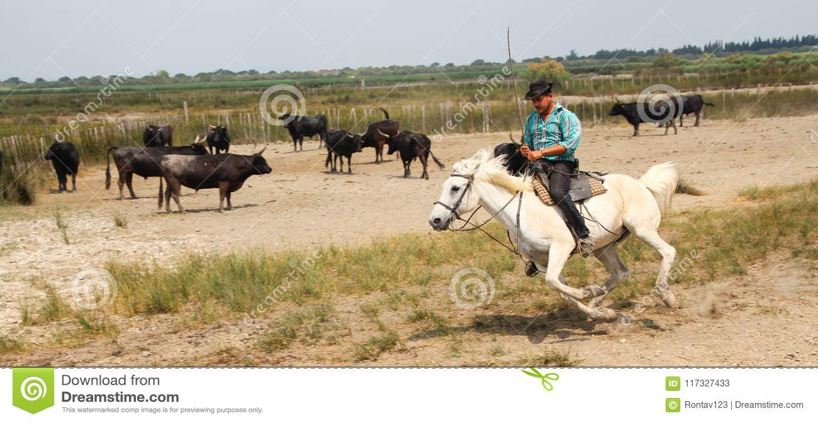 Camargue Cowboy is riding on beautiful white horse herding black bulls