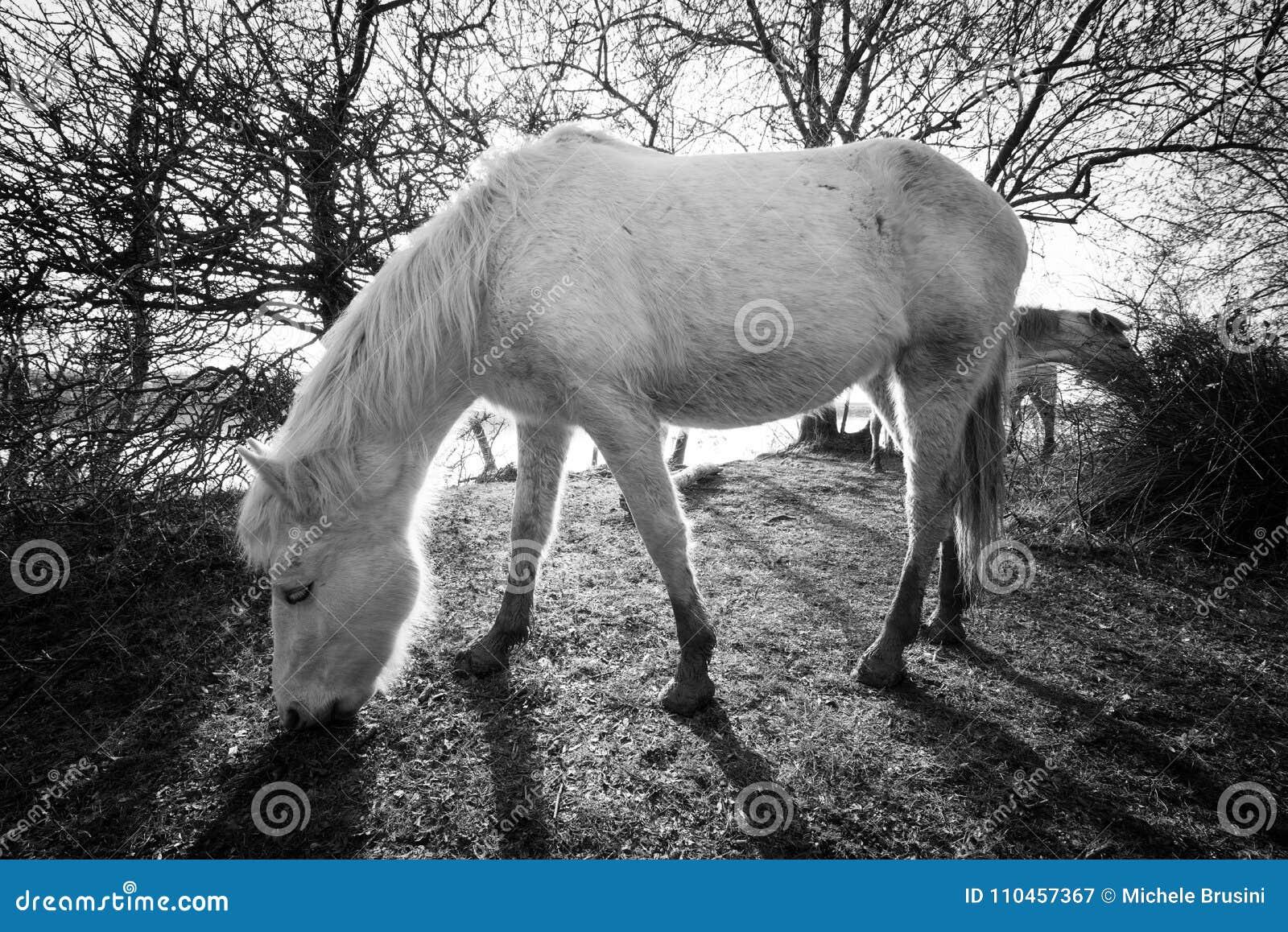 Camargue hästar i den Isola dellaen Cona