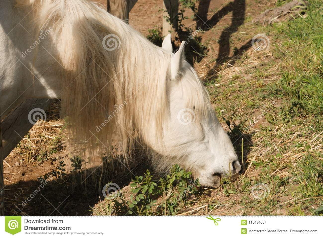The Camargue Horse Is A Small But Robust Looking Animal