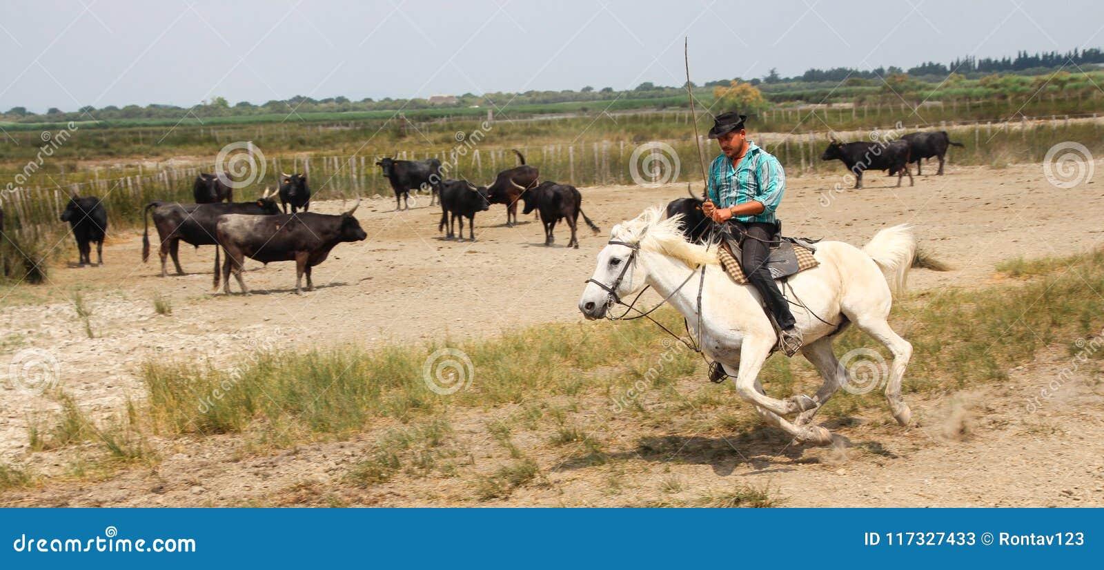 Camargue kowboj jedzie na pięknym białym koniu gromadzi się czarnych byki