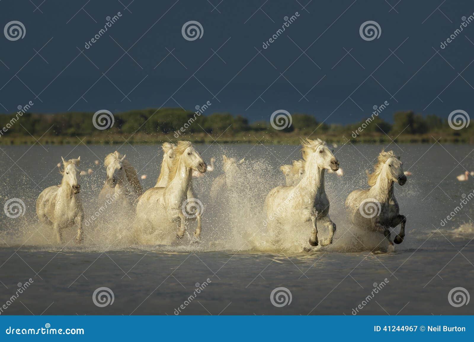 Camargue, wild horses