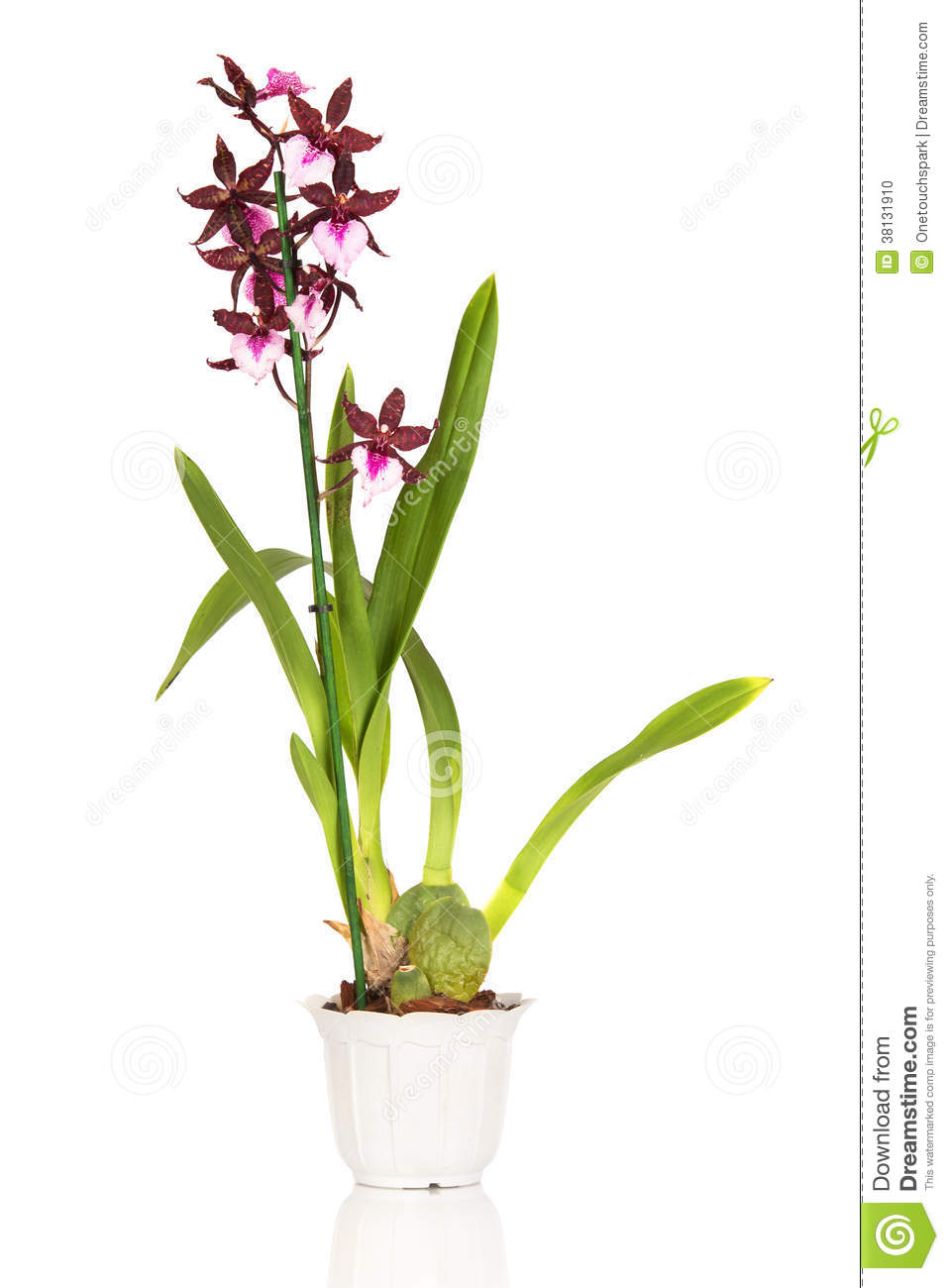 Cambria Orchid Stock Photo - Image: 38131910