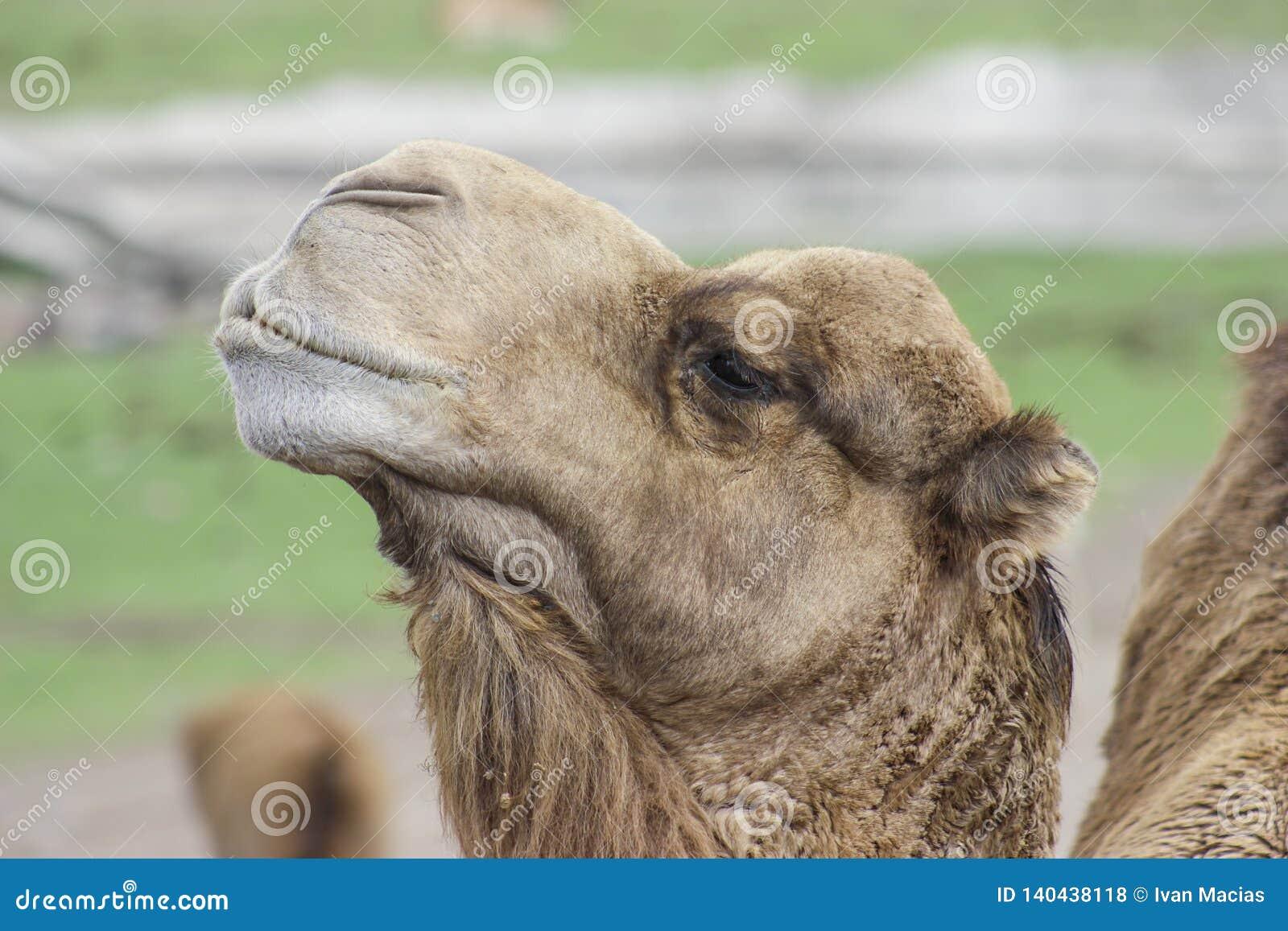 CAMEL ANIMAL NATURE CAMELLO SELVA