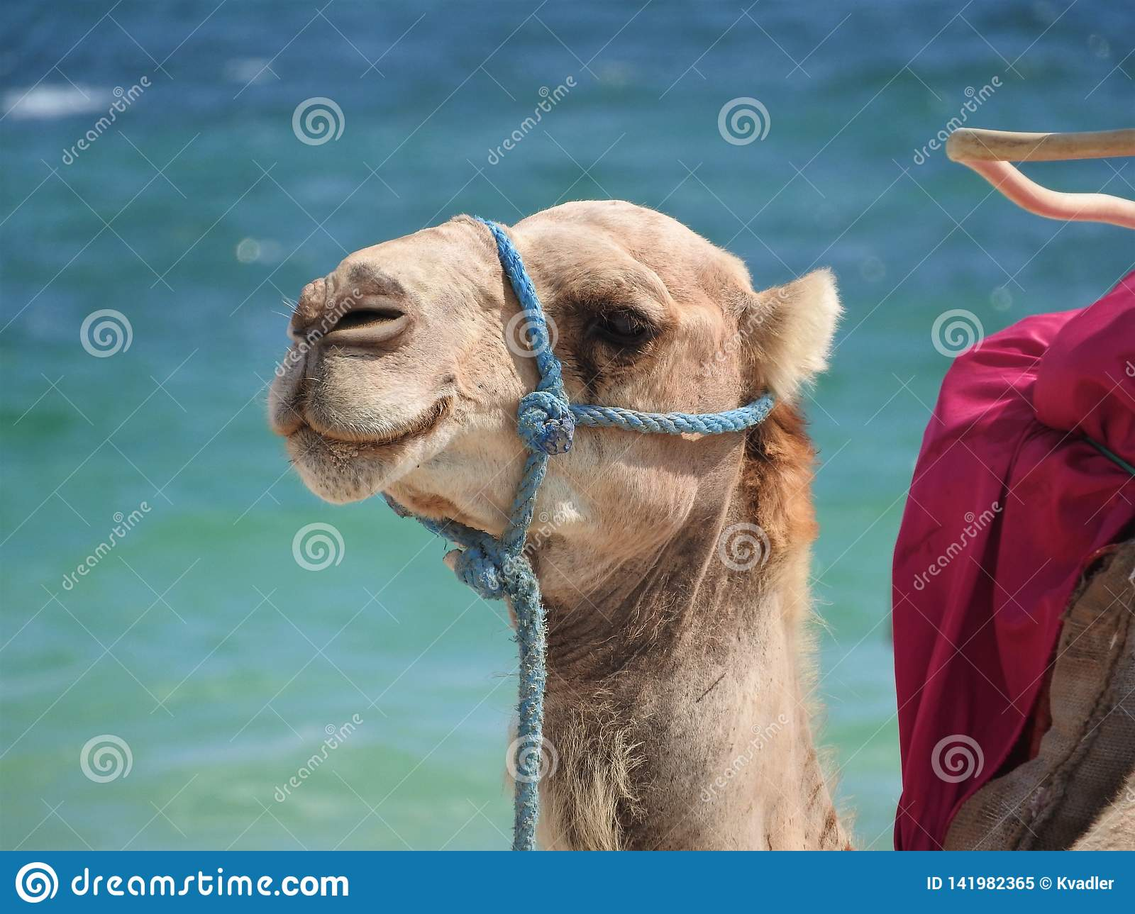 Camel on the beach in Tunisia, Africa on a clear day against the blue sea