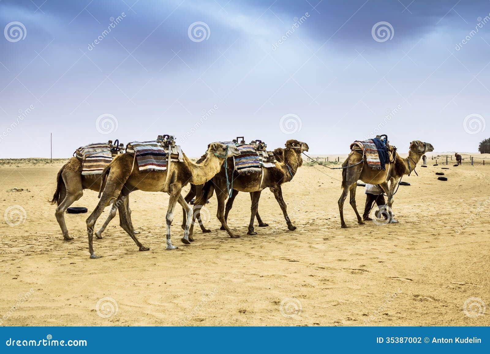 Lastest Camel Caravan On The Sahara Desert In The Tunisia  Stock Photo
