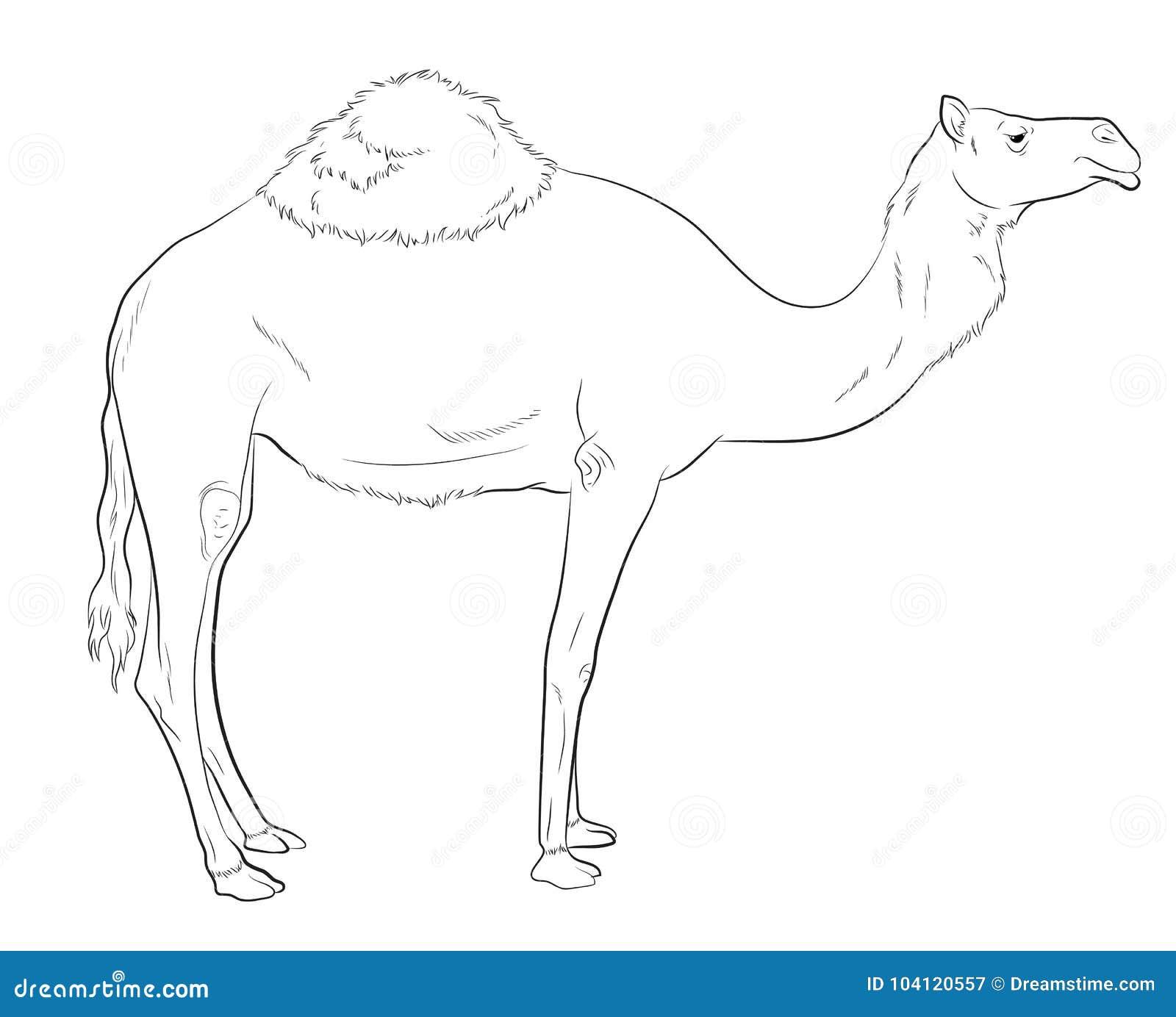 Camel Drawing Vector Illustration Stock Illustration