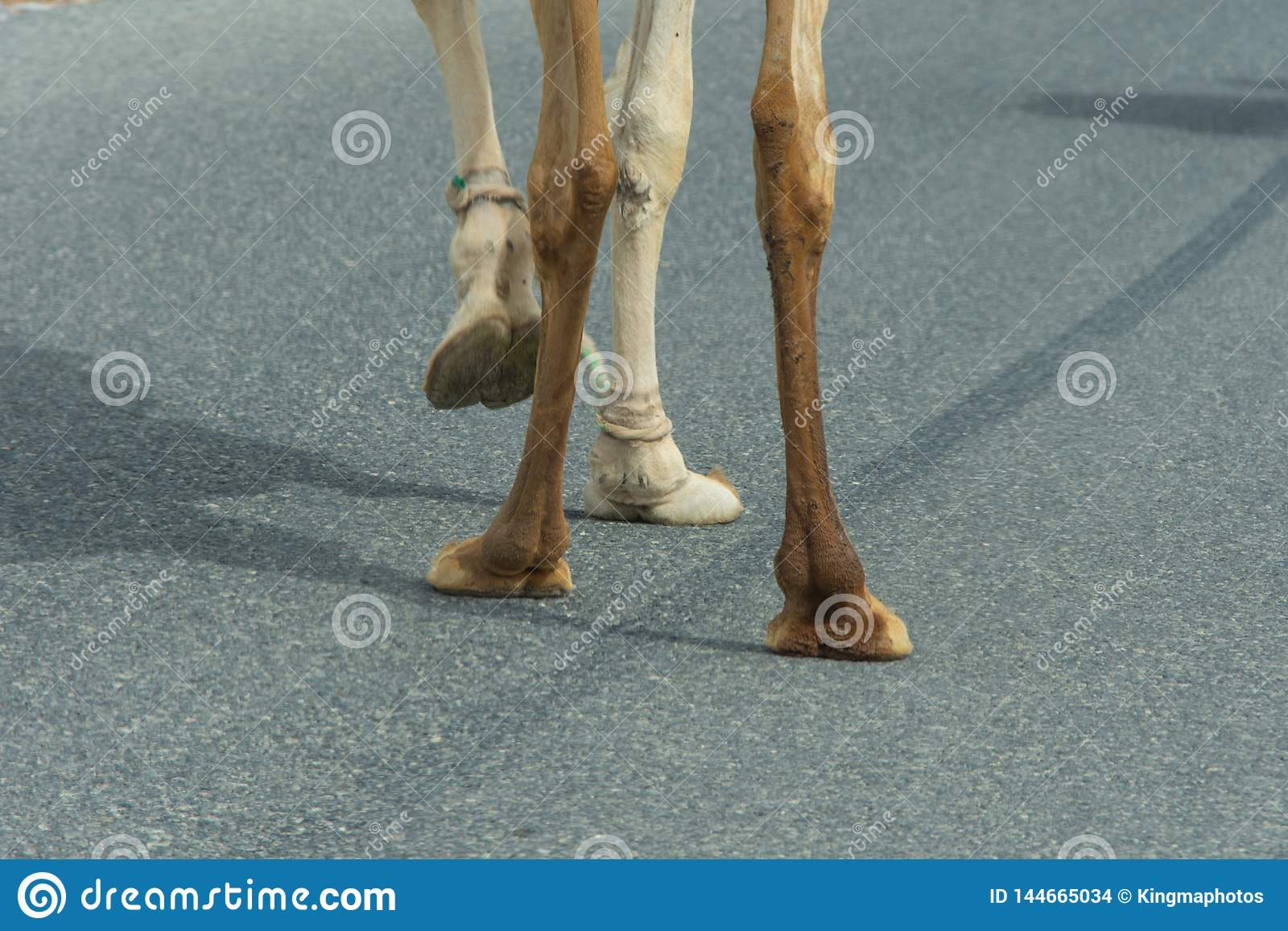Camel feet close-up as it crosses the street in Ras al Khaimah, United Arab Emirates