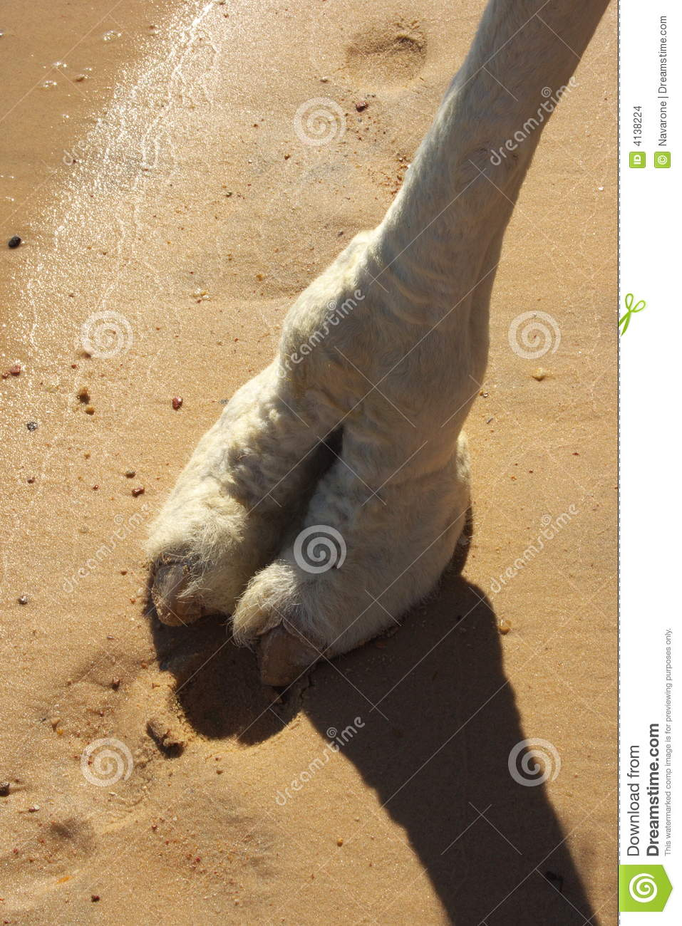 camel foot stock images