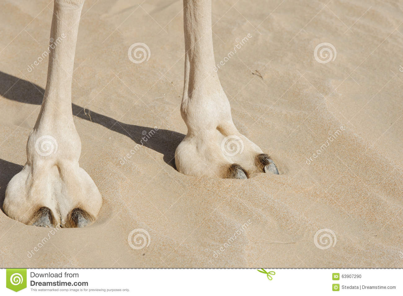 foot-prints_Camel Foot (large Leathery Pad) Stock Photo - Image of exploration, mammal: 63907290