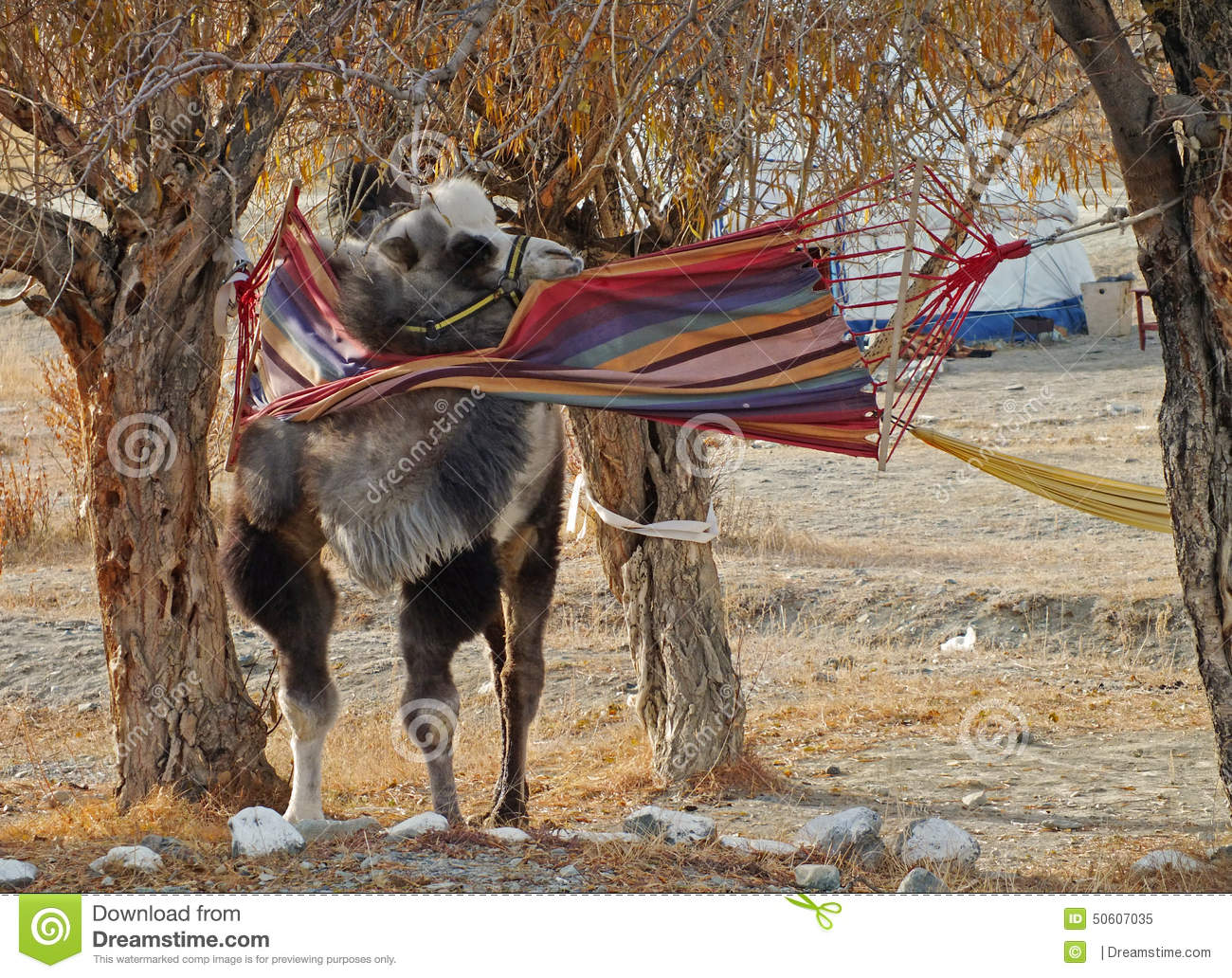 camel in a hammock camel in a hammock stock image  image of animal weekend   50607035  rh   dreamstime