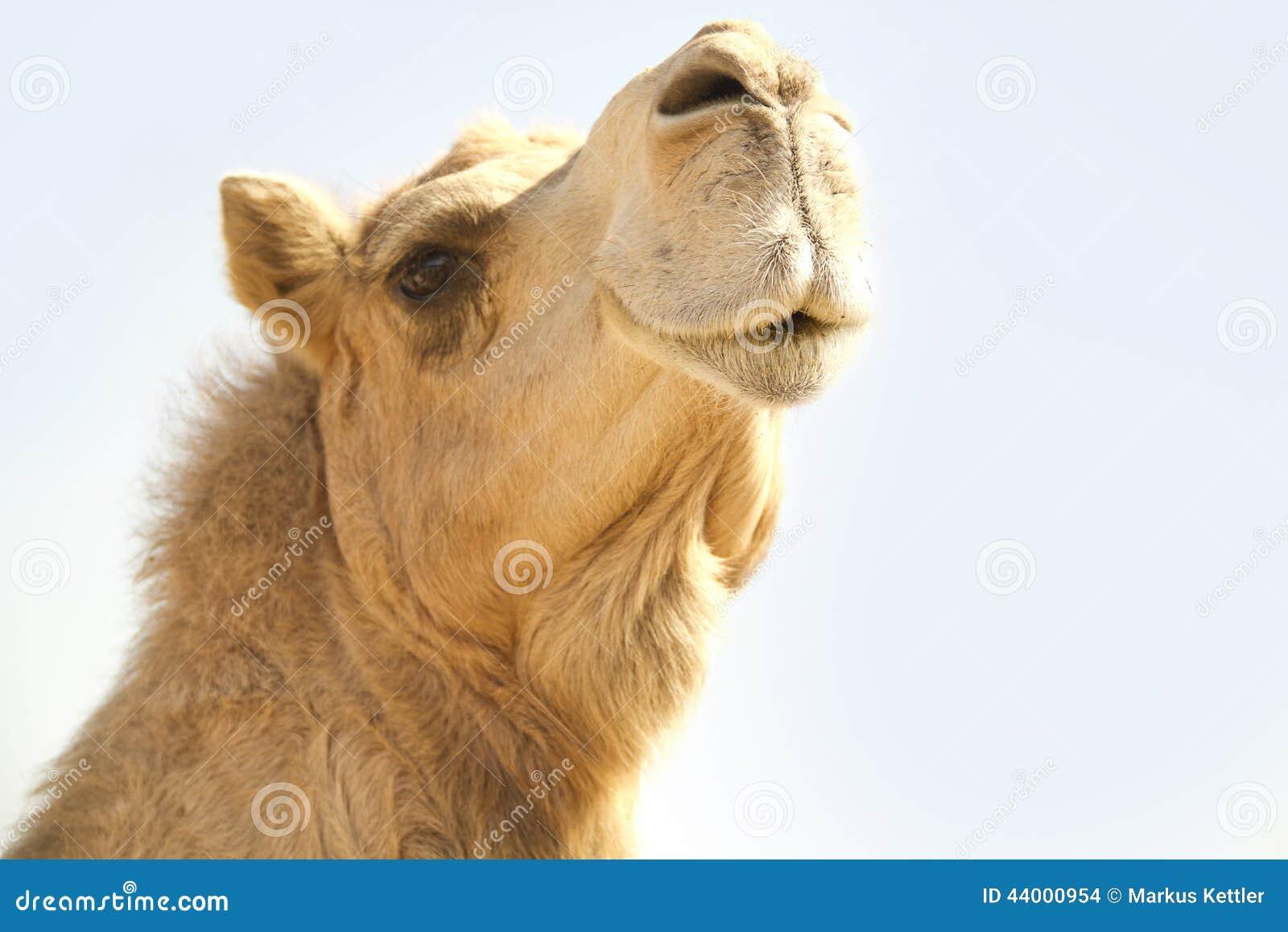 Camel Head 1 Stock Pho...