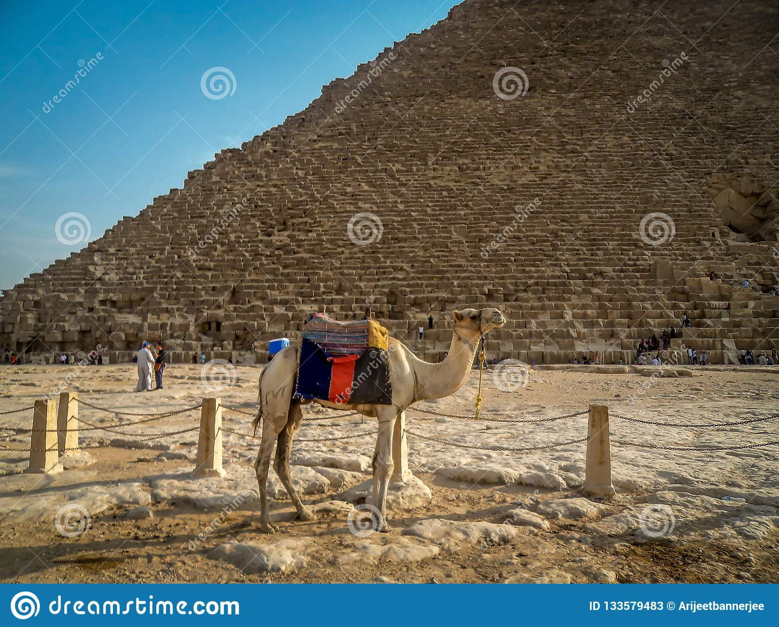 A Camel near the great pyramid of Giza in egypt
