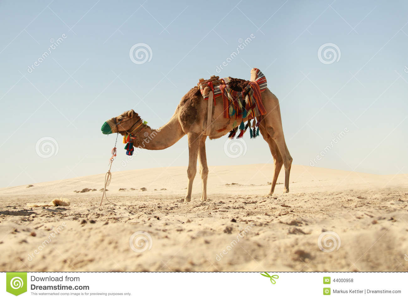 Camel Relax In Spring Sunshine Day. Royalty-Free Stock ...