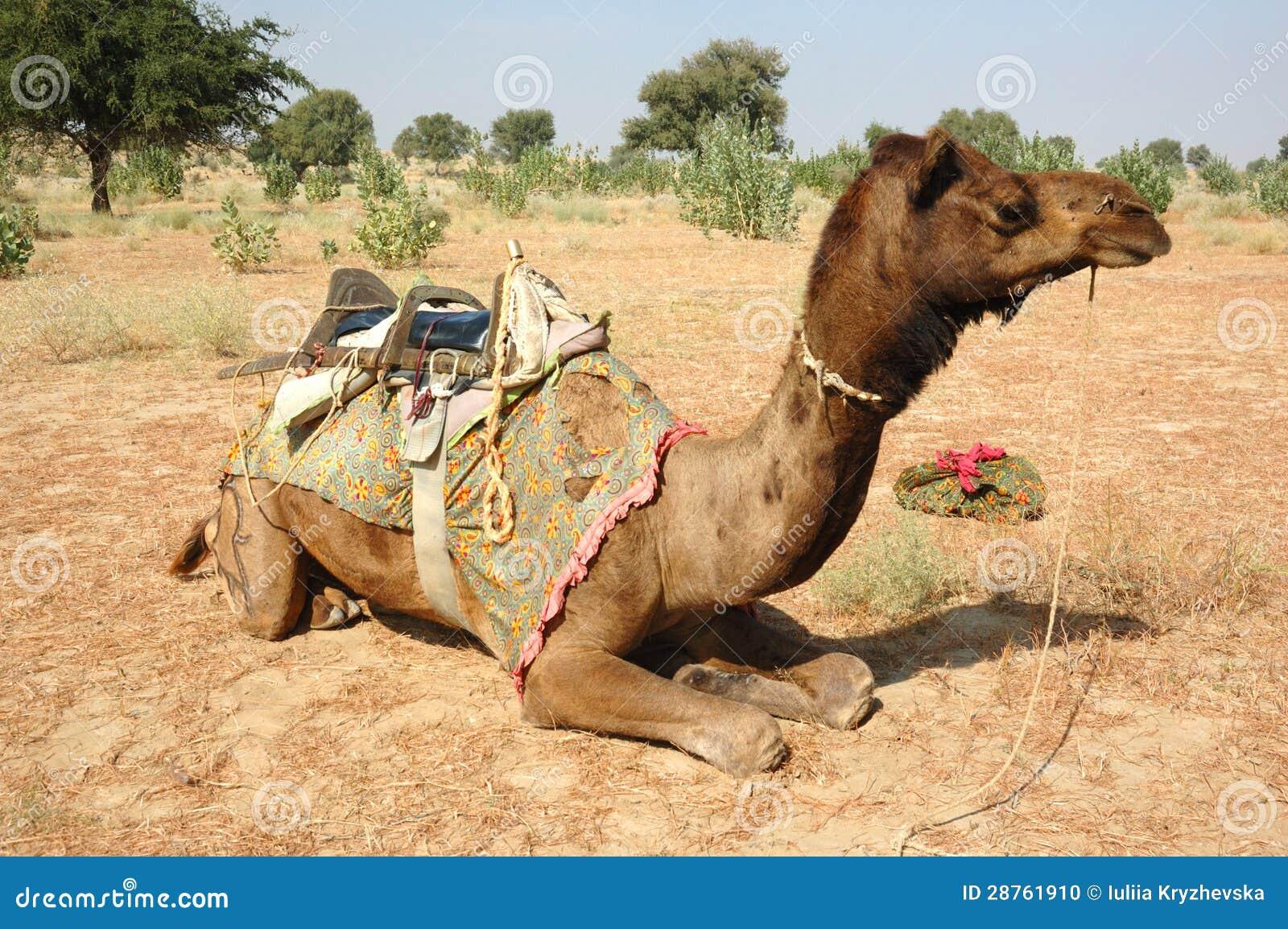 Camel safari in Thar desert,Rajastan,India