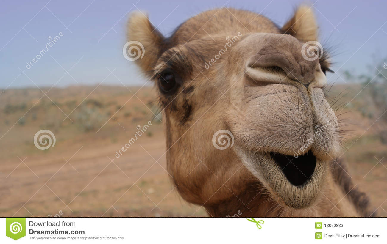 Camel Smiling stock image  Image of animal, facial, smile - 13060833