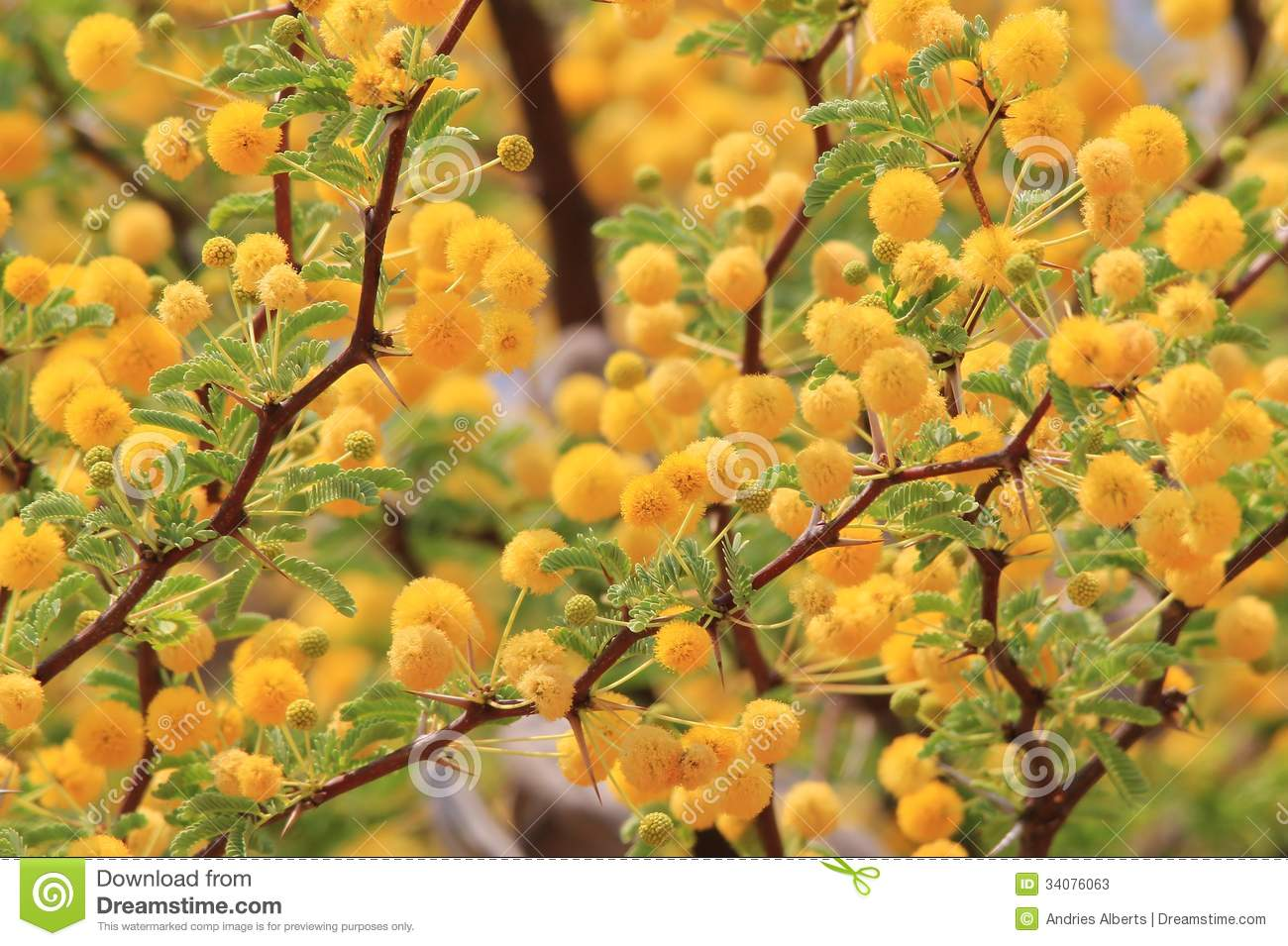 Camel Thorn Blossoms Wild Flower Background From Africa Golden Yellow Beauty Stock Photos