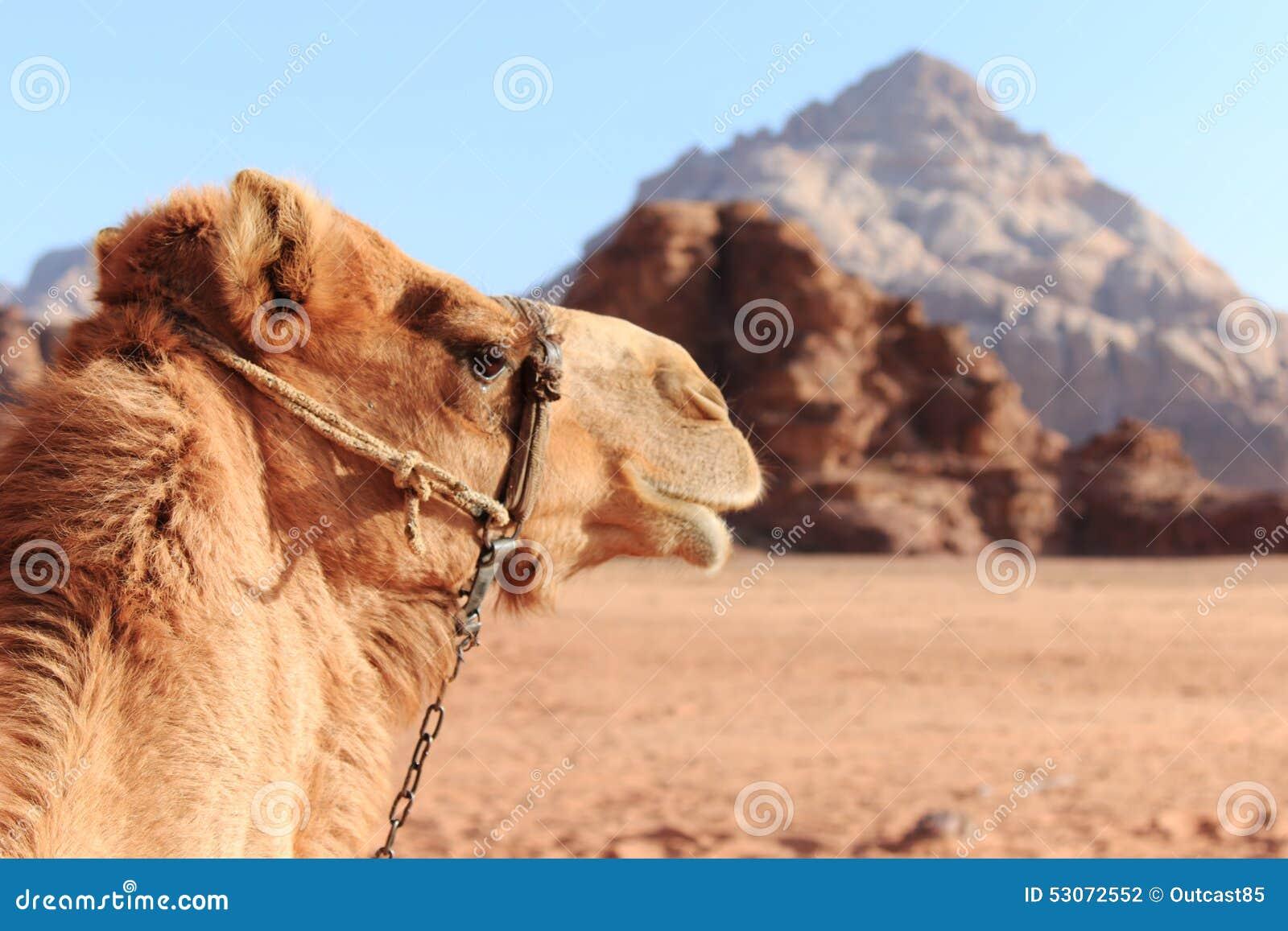 Camel in the Wadi Rum desert, Jordan, at sunset