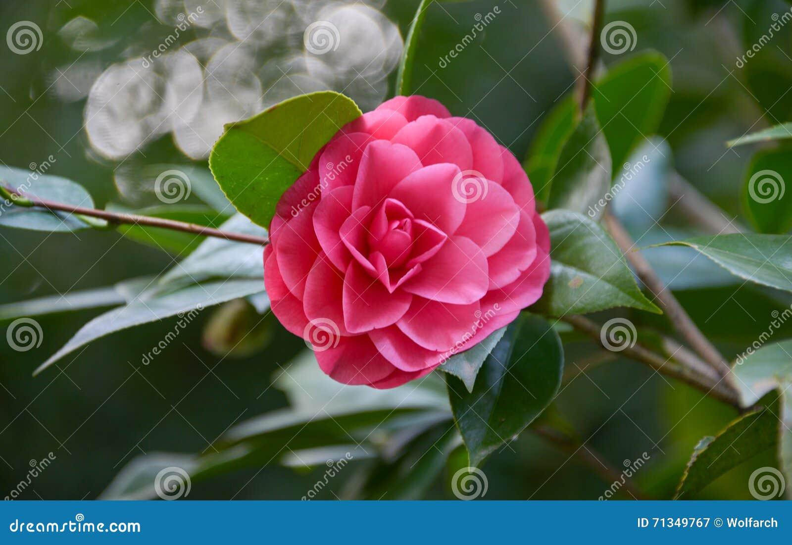 Camelia Blossom