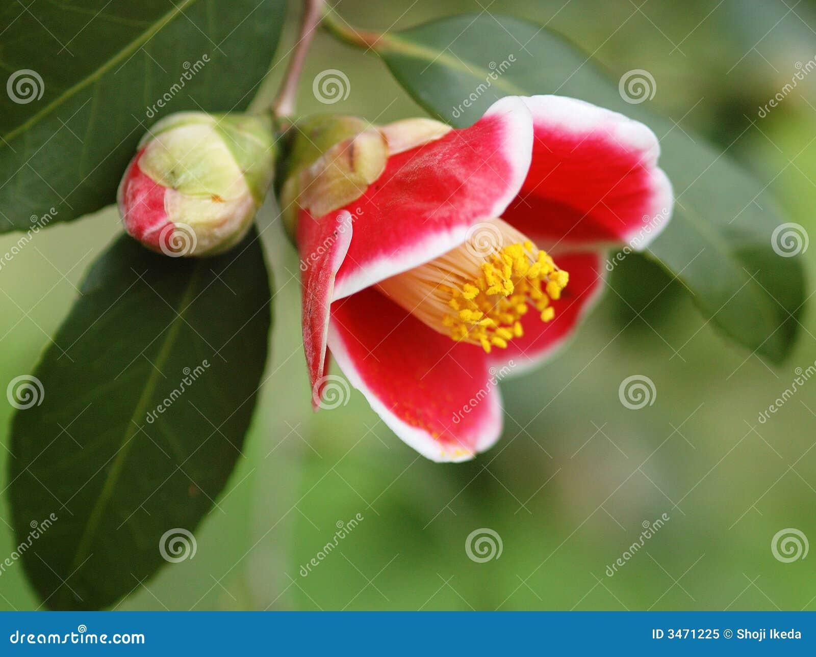 Camellia-0001