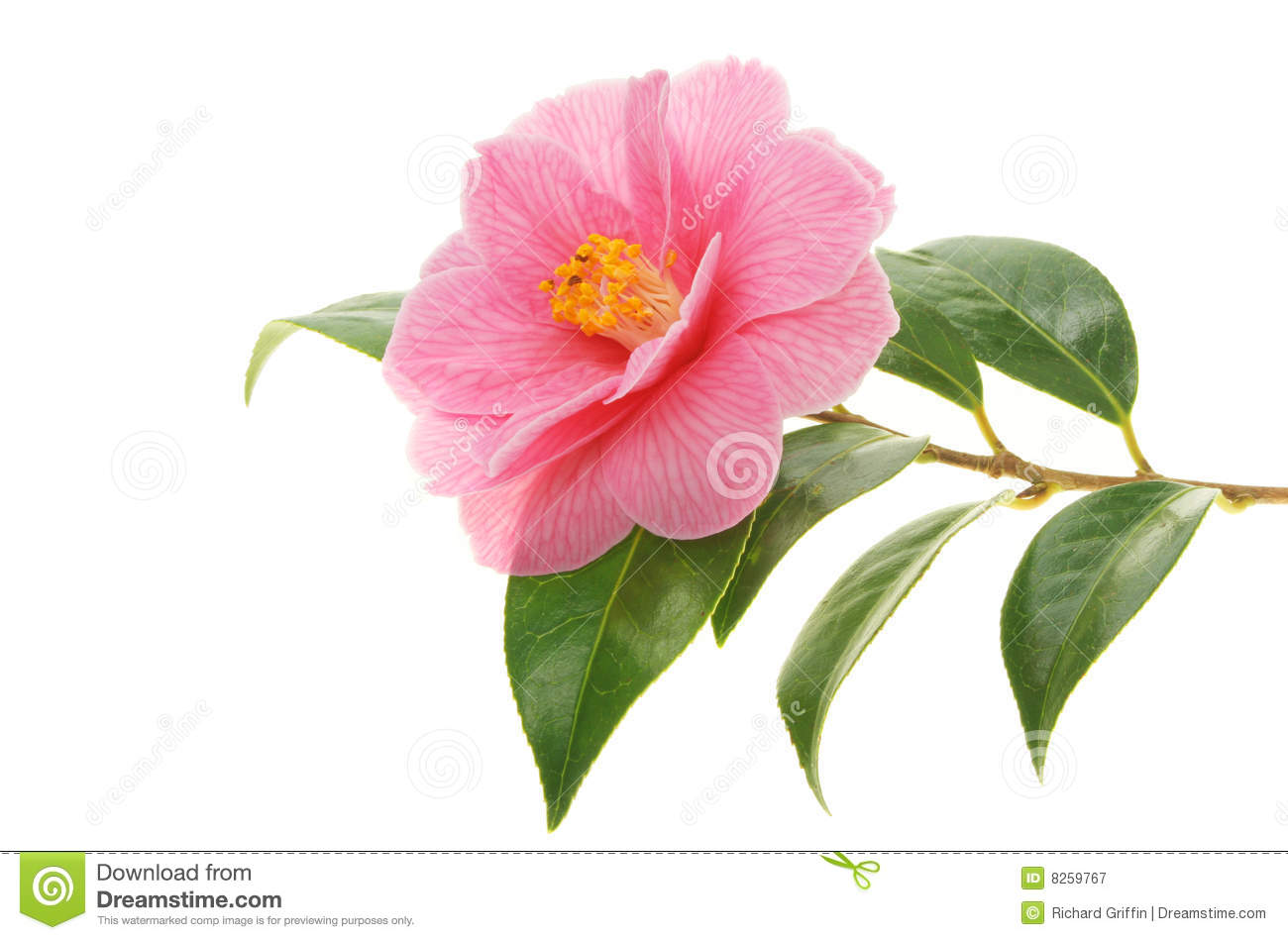 Camellia Flower Line Drawing : Camellia and branch royalty free stock photography image
