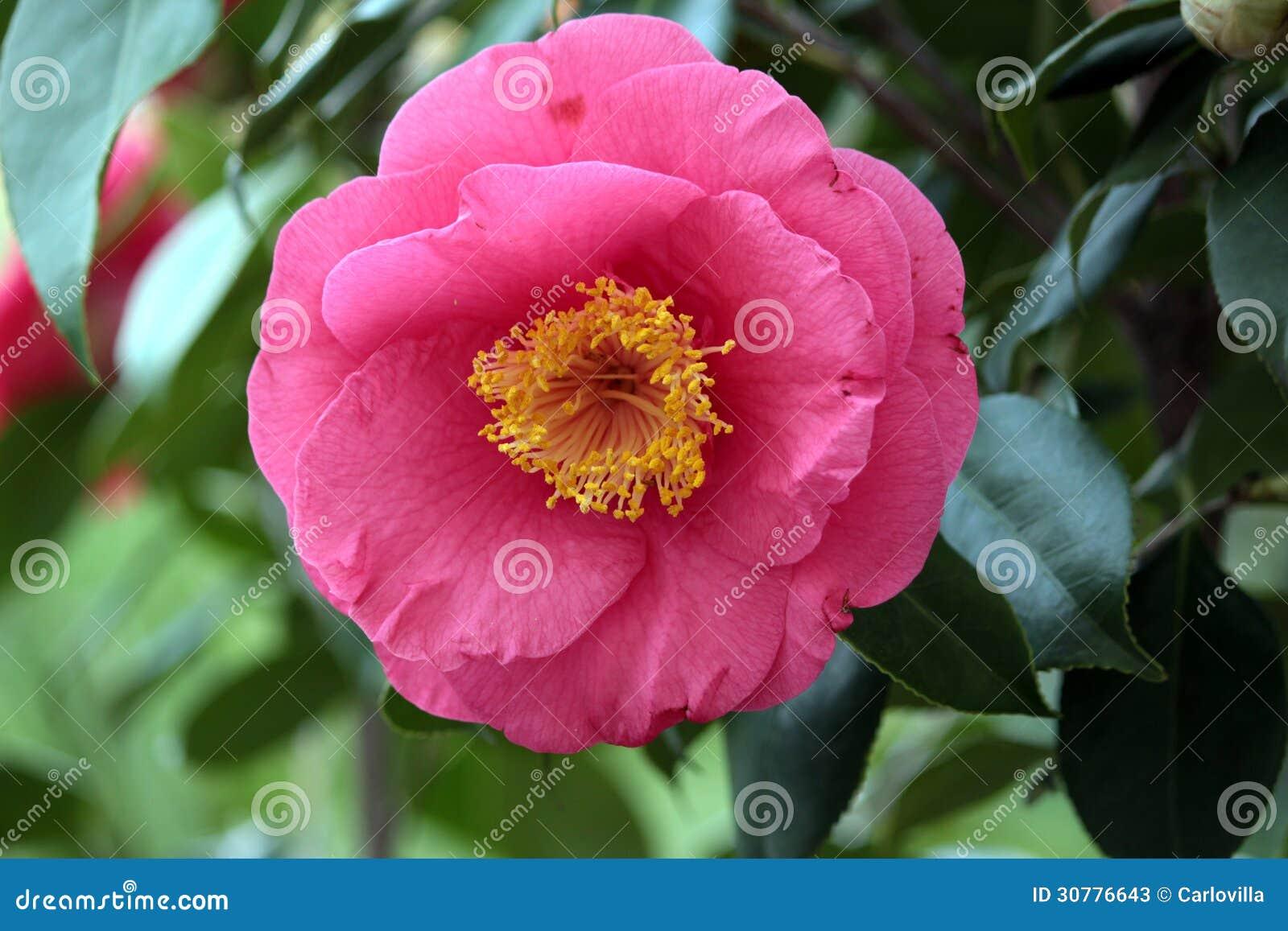 Camellia stock photos image 30776643 - Camelia fotos ...