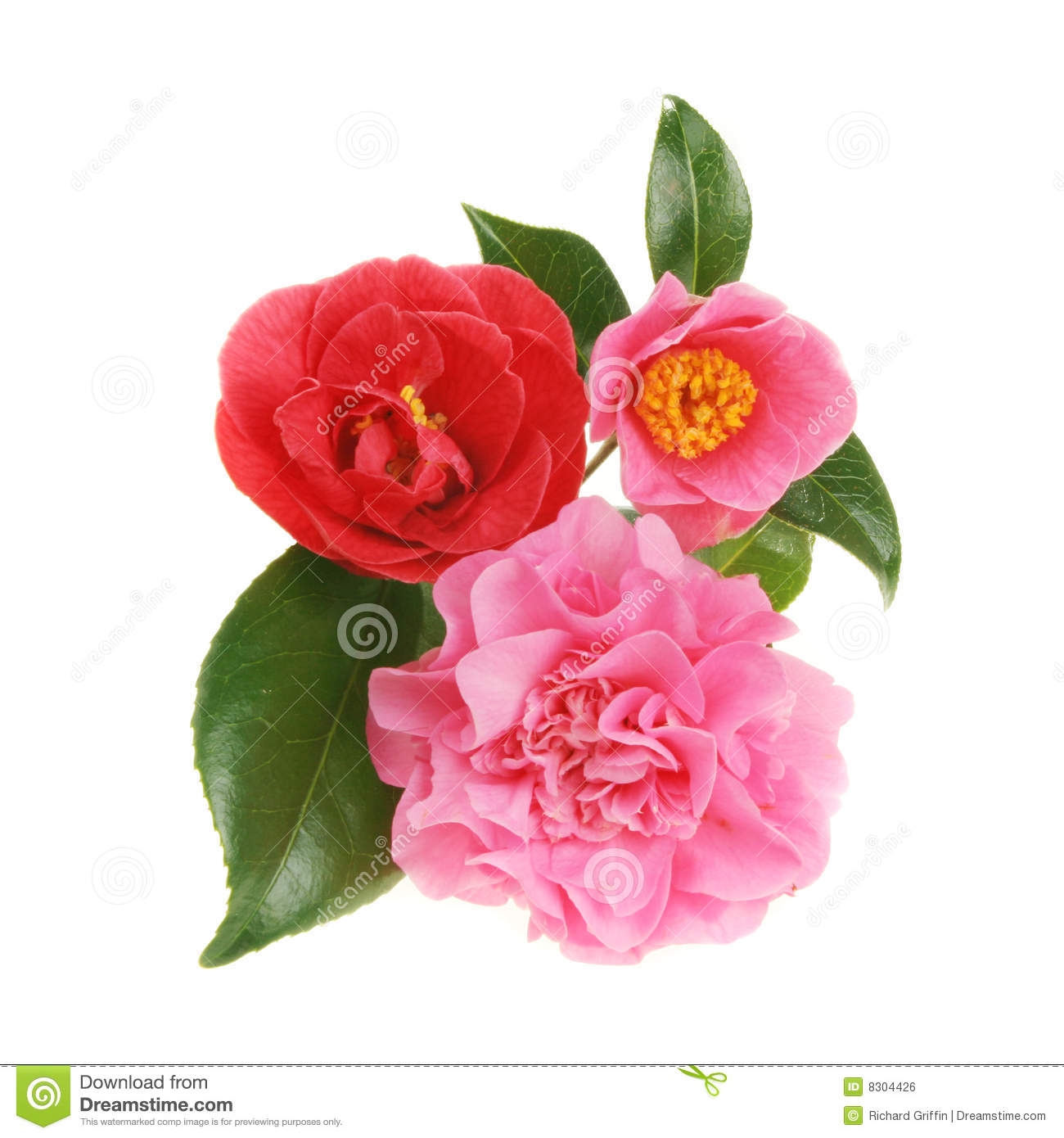 Camellia Flower Painting Camellia Flower Painting Forms