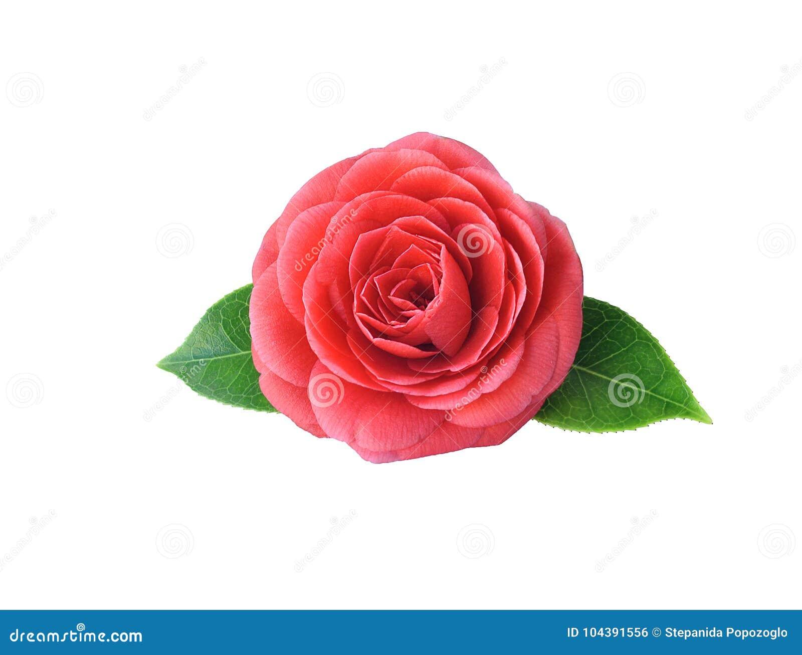 Camellia Isolated On White Background Spring Japanese Flower W