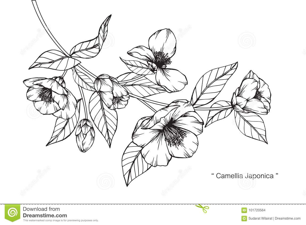 Camellia Flower Line Drawing : Camellia japonica flowers drawing and sketch stock