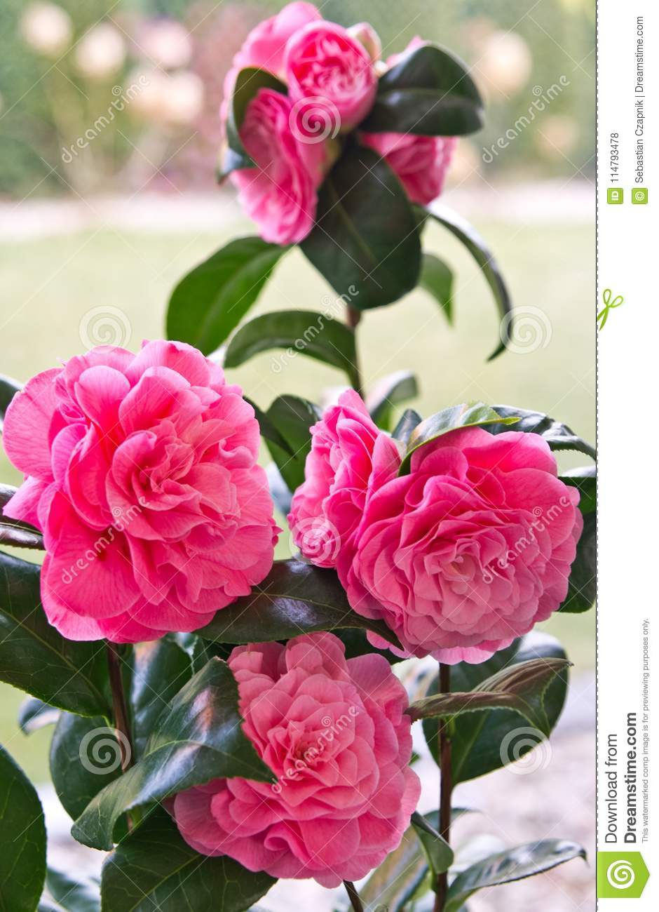 Camellia Japonica Pink Flower Still Life Stock Photo Image Of