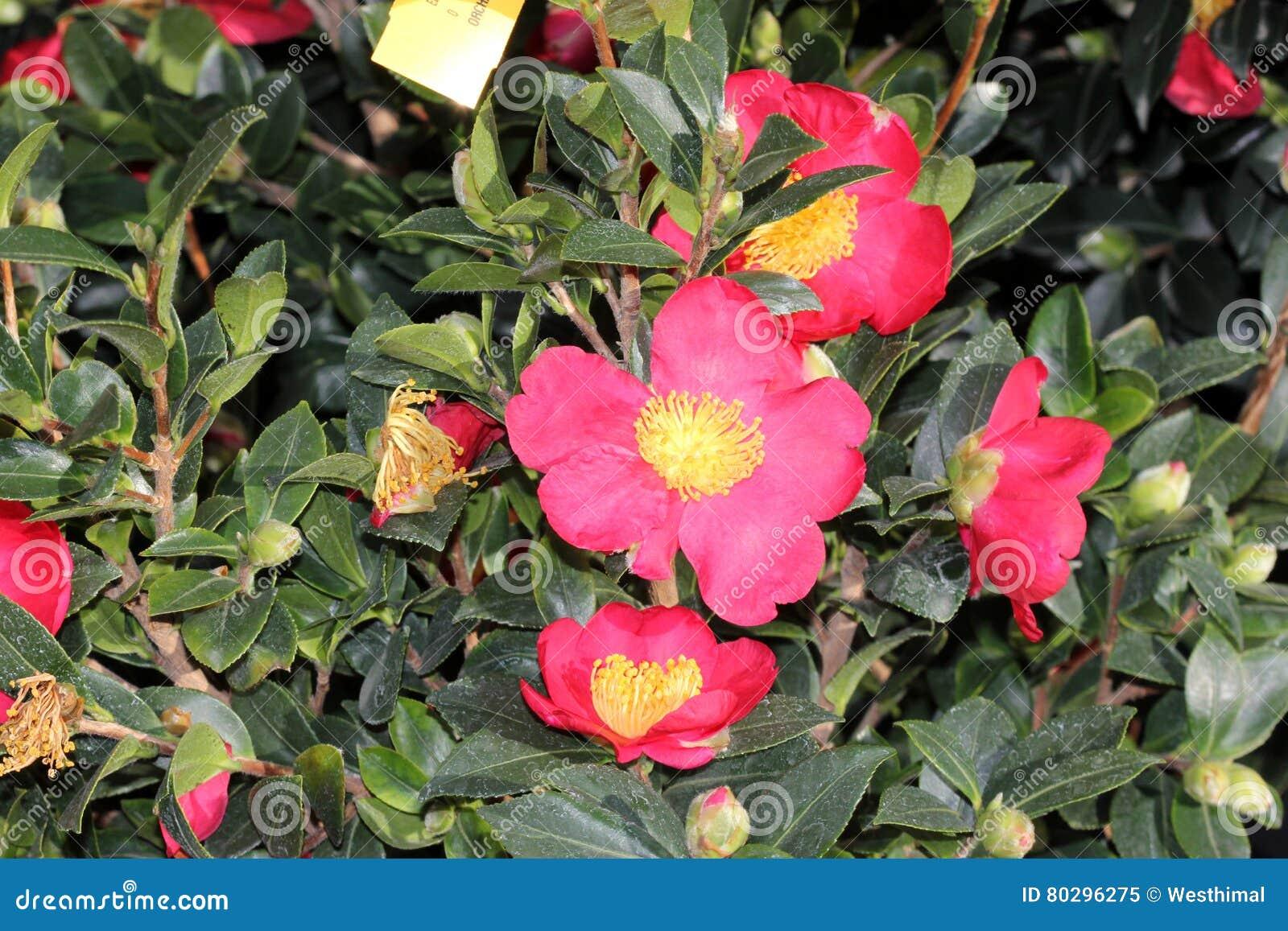 Camellia Sasanqua Yuletide Stock Image Image Of Shrub Brilliant
