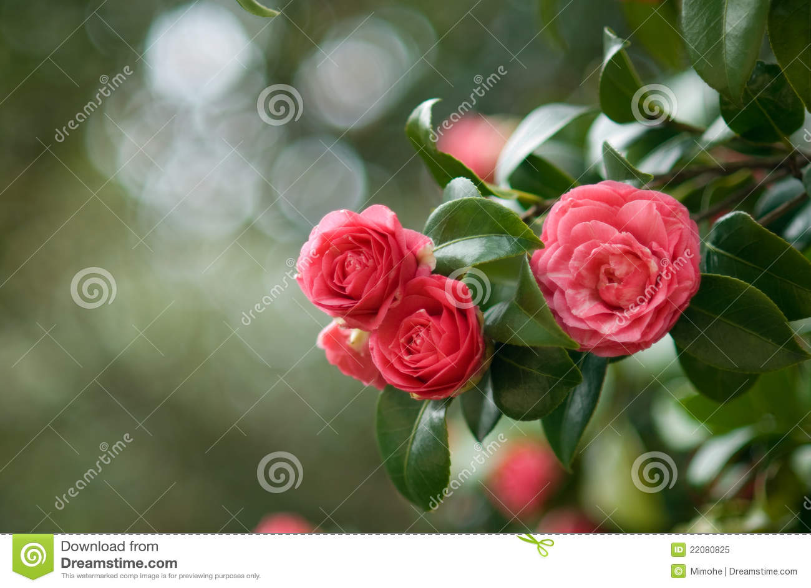 Camellia tree stock image image of camellia nature - Camelia fotos ...
