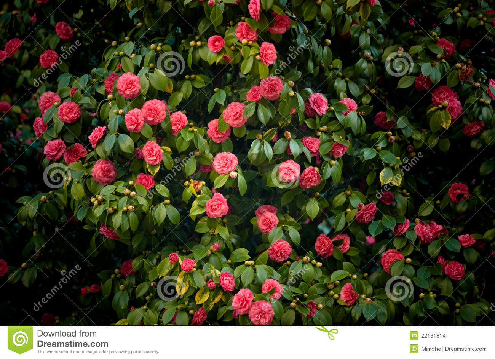 Camellia tree stock images image 22131814 - Camelia fotos ...