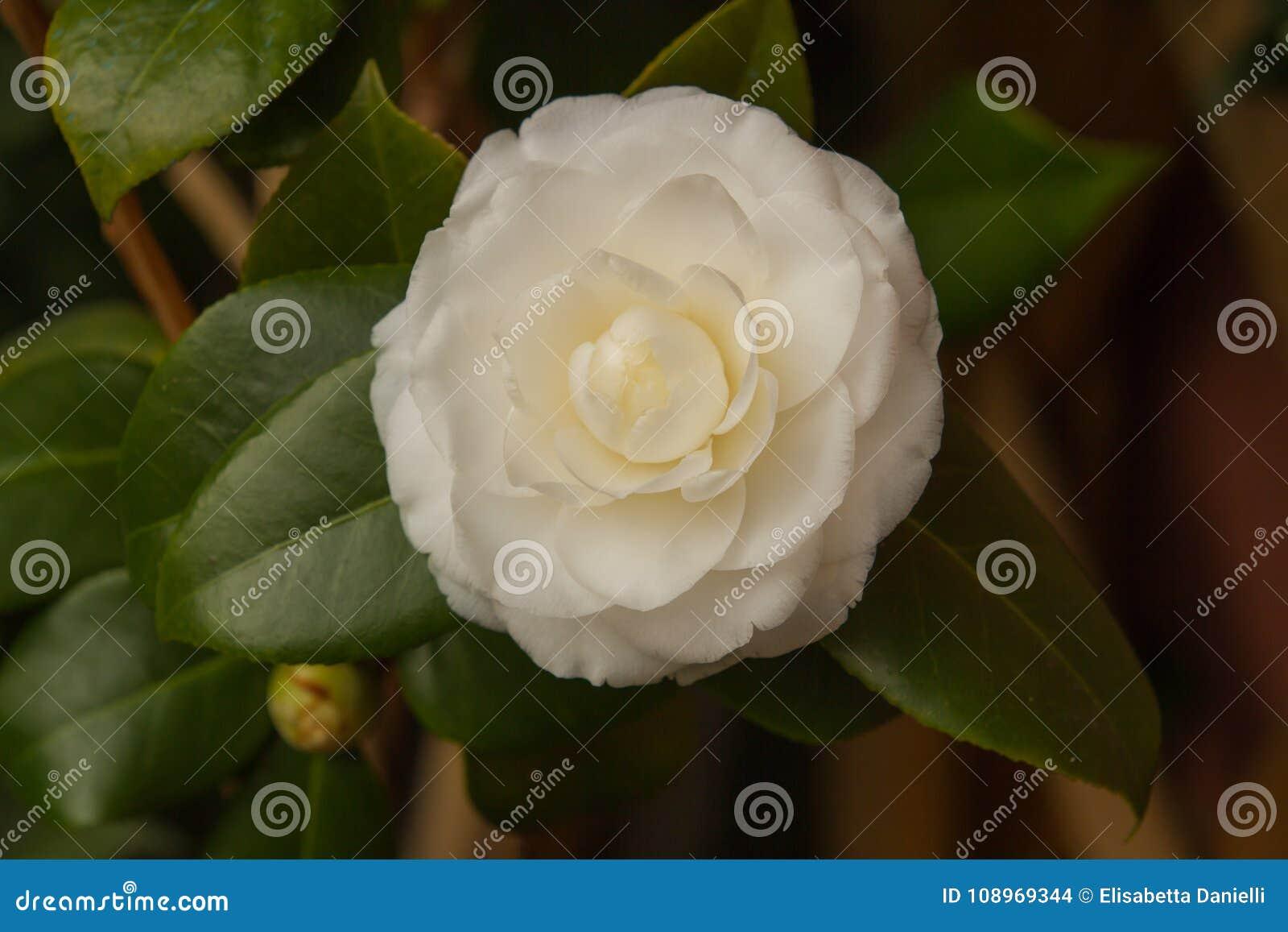 Camellia White Flower In Blossom Stock Photo Image Of Spring