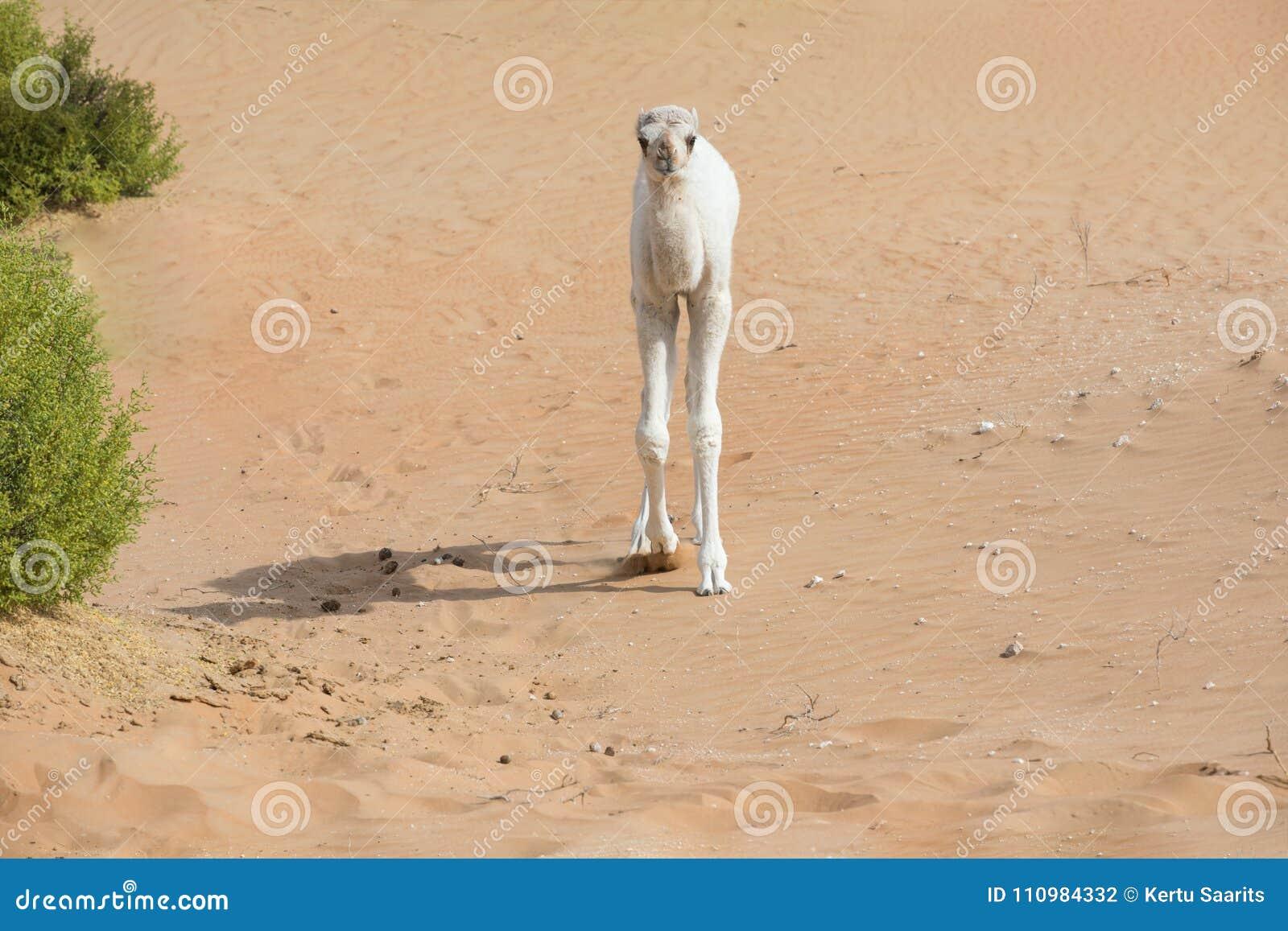 Camello Coloreado Blanco Del Bebé En El Desierto Foto de archivo ...