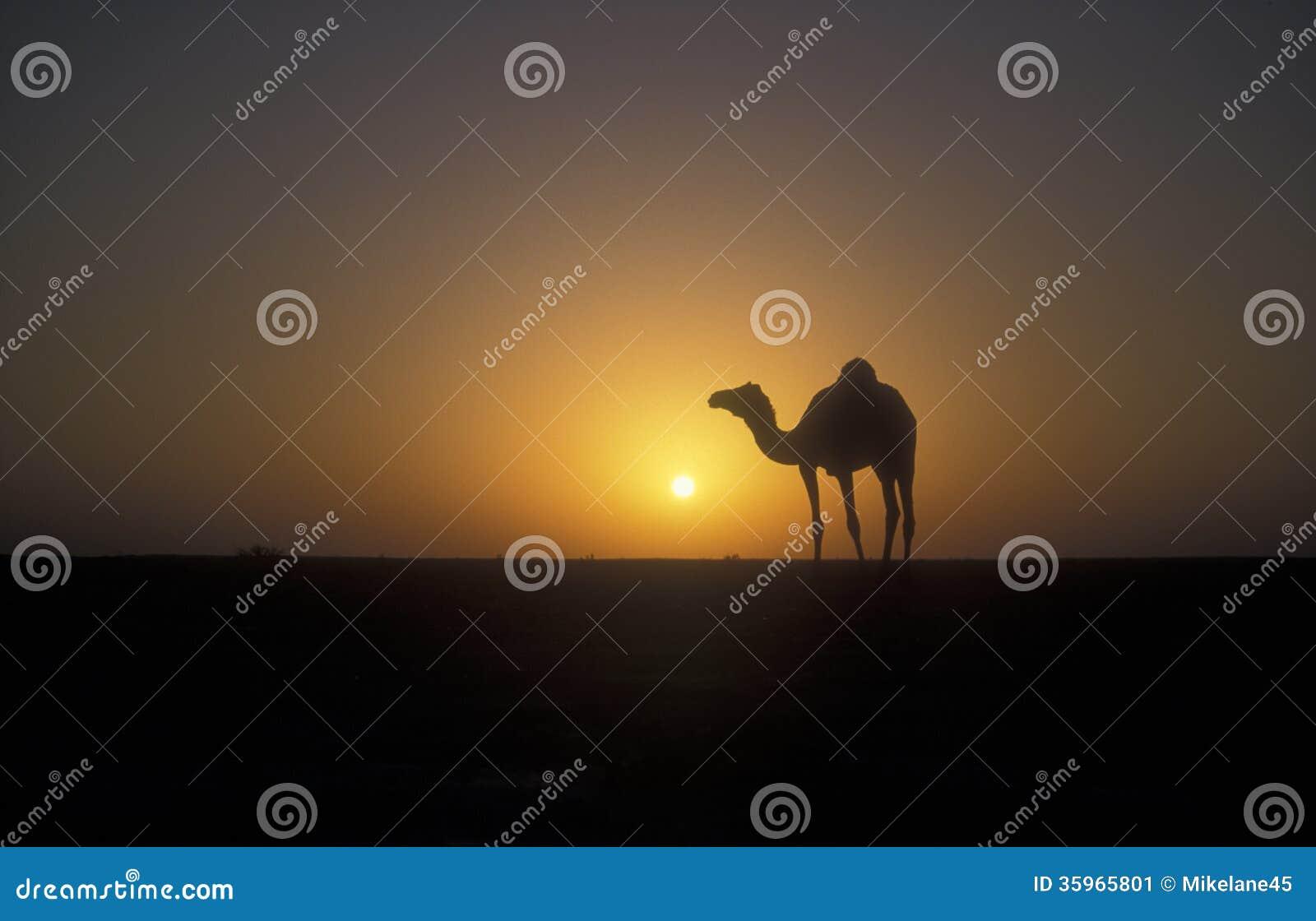Camello del árabe o del dromedario, dromedarius del Camelus
