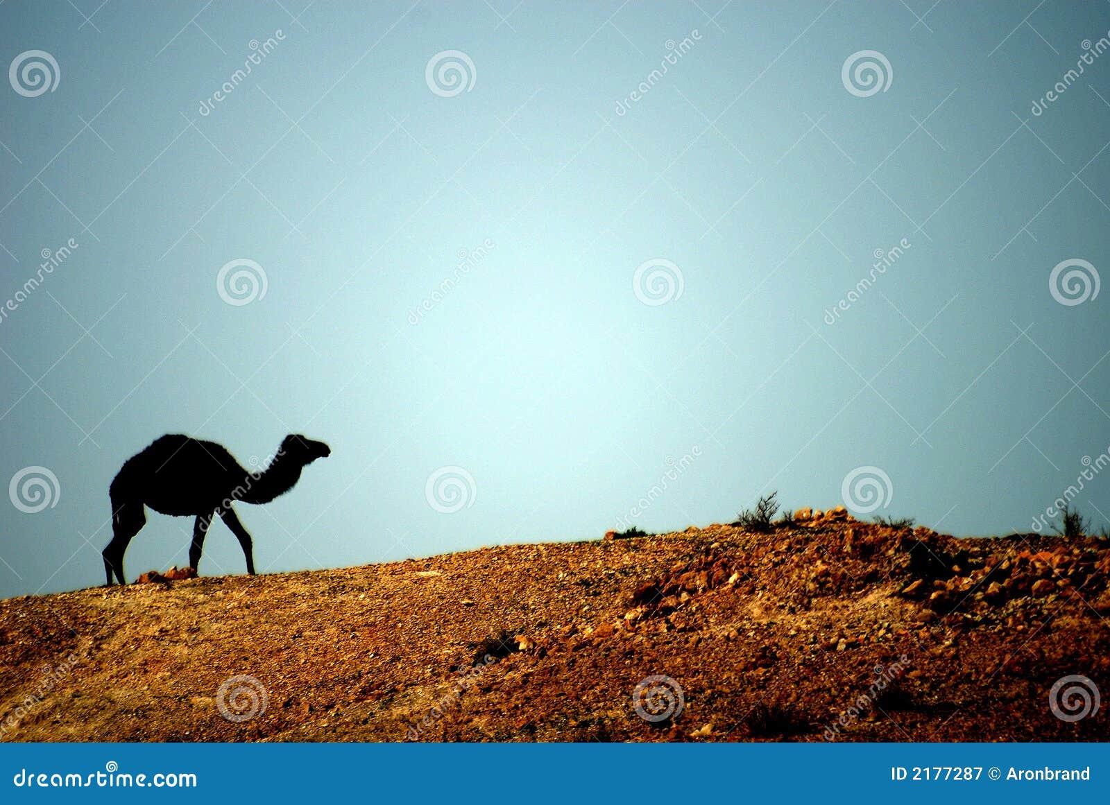 Camello en el de de Oriente Medio