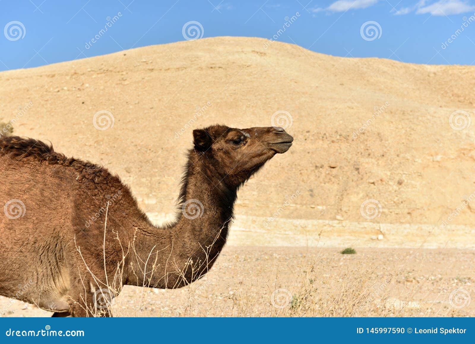 Camello en el desierto de Judea