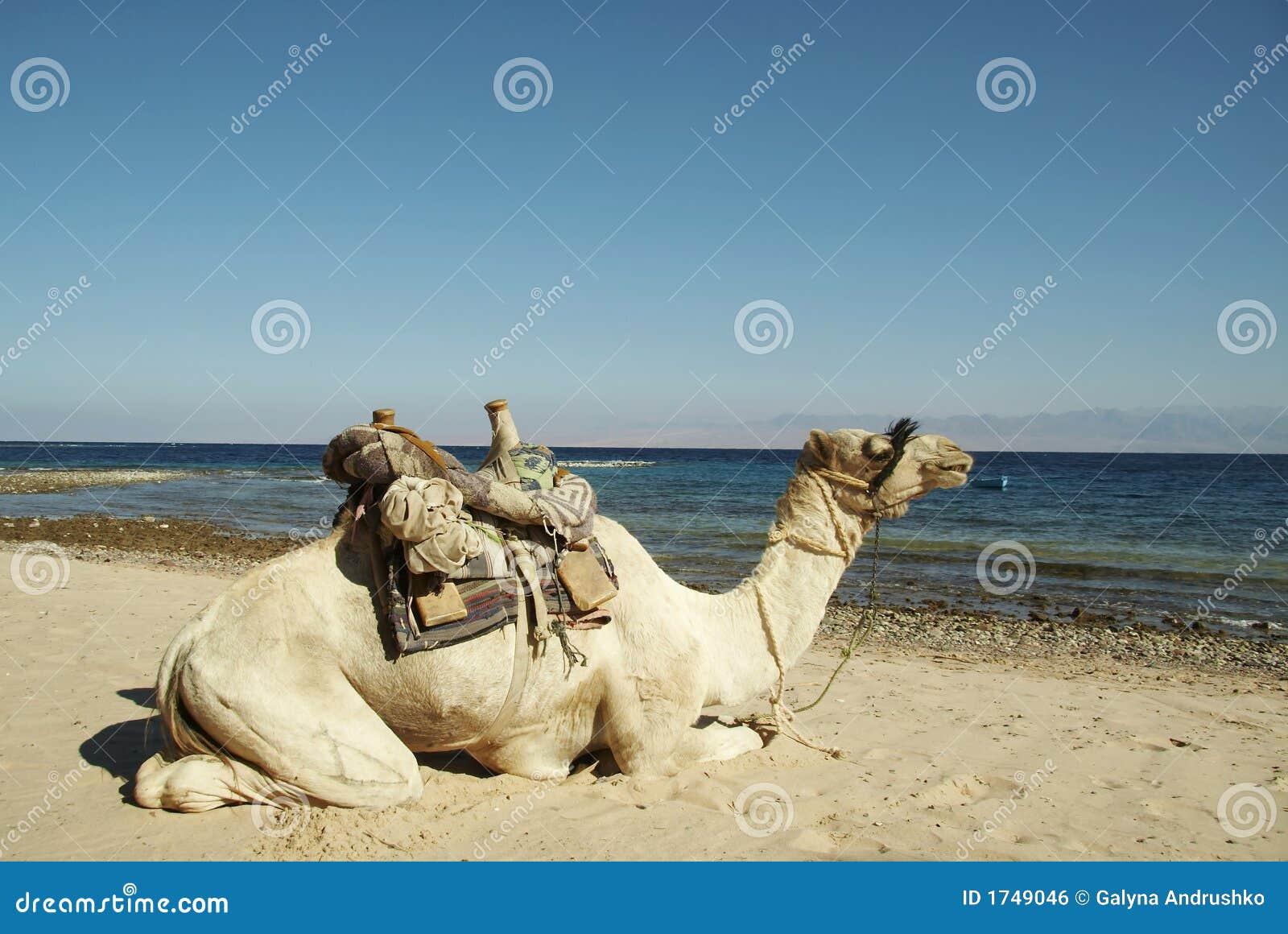 Camello en las costas costas del Mar Rojo