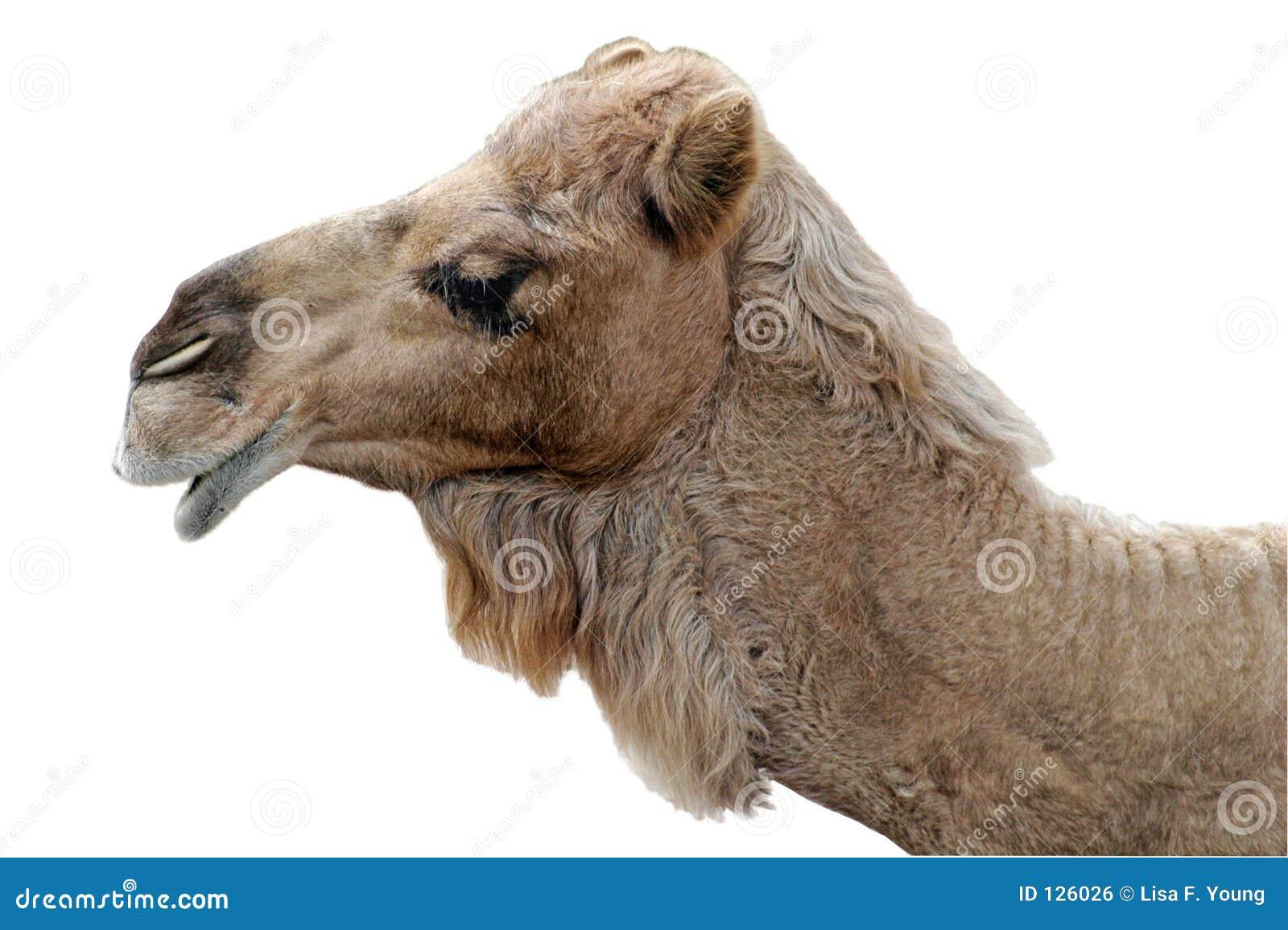Camello feliz aislado foto de archivo. Imagen de dromedario - 126026