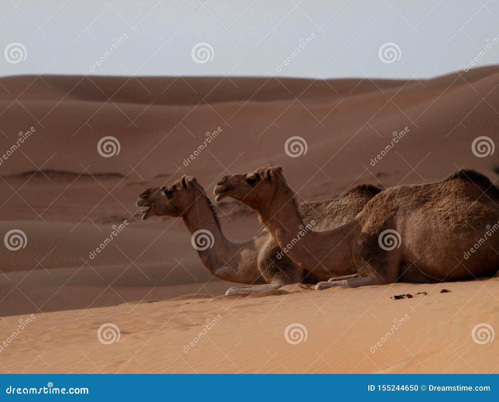 Camello las naves del desierto
