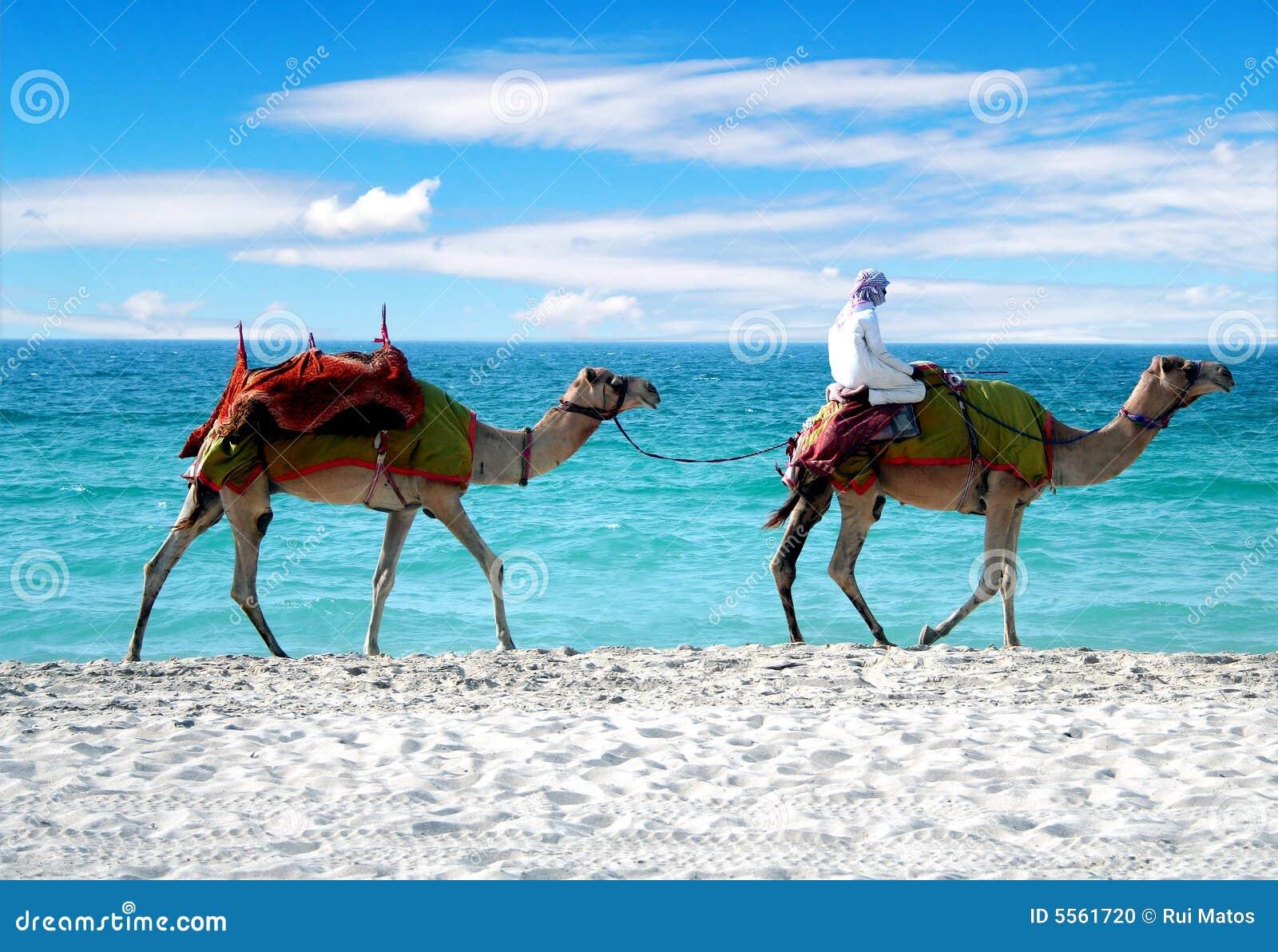 Camellos en una playa de Dubai
