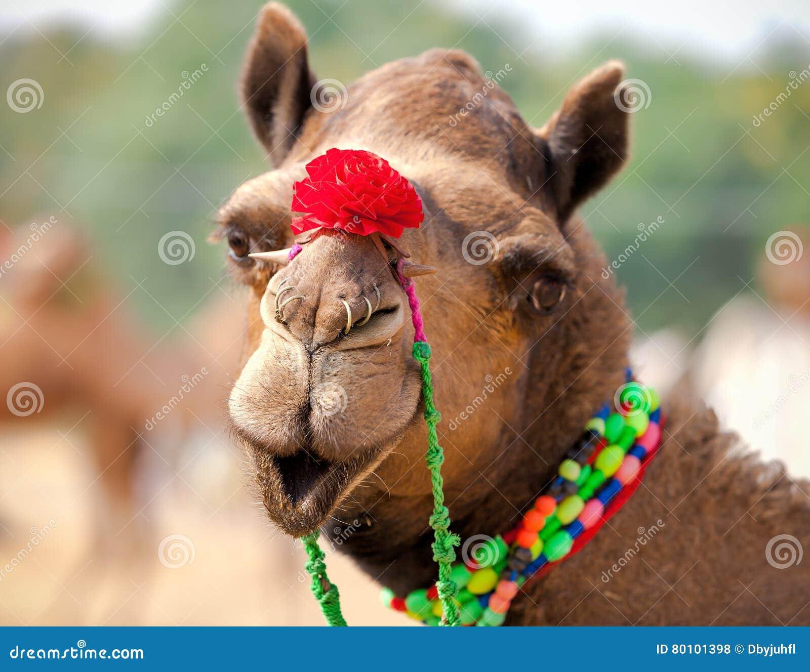 Camelo decorado na feira de Pushkar Rajasthan, Índia