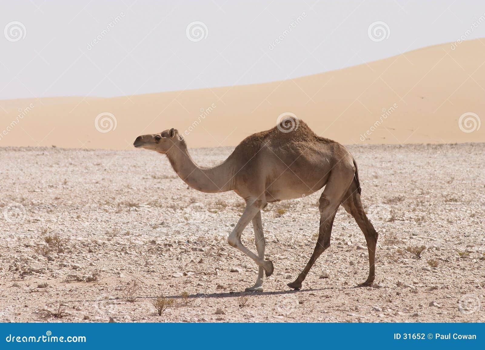 Camelo no deserto de Qatari